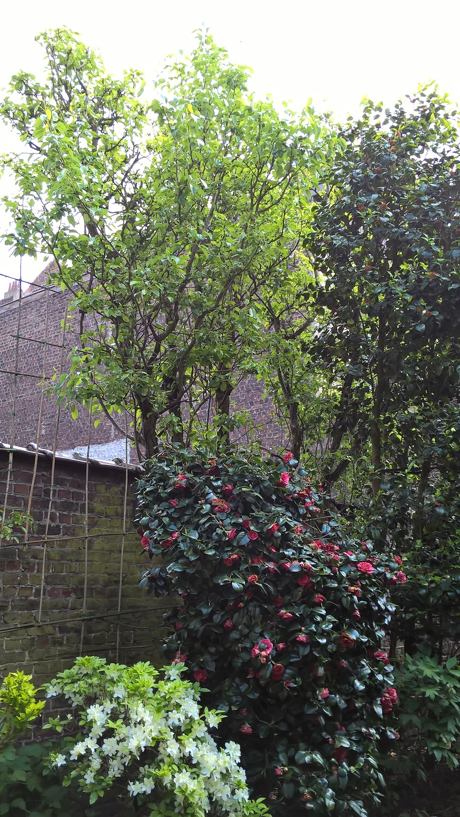Poirier cultivé – Forest, Avenue Wielemans Ceuppens, 75 –  03 Mai 2018