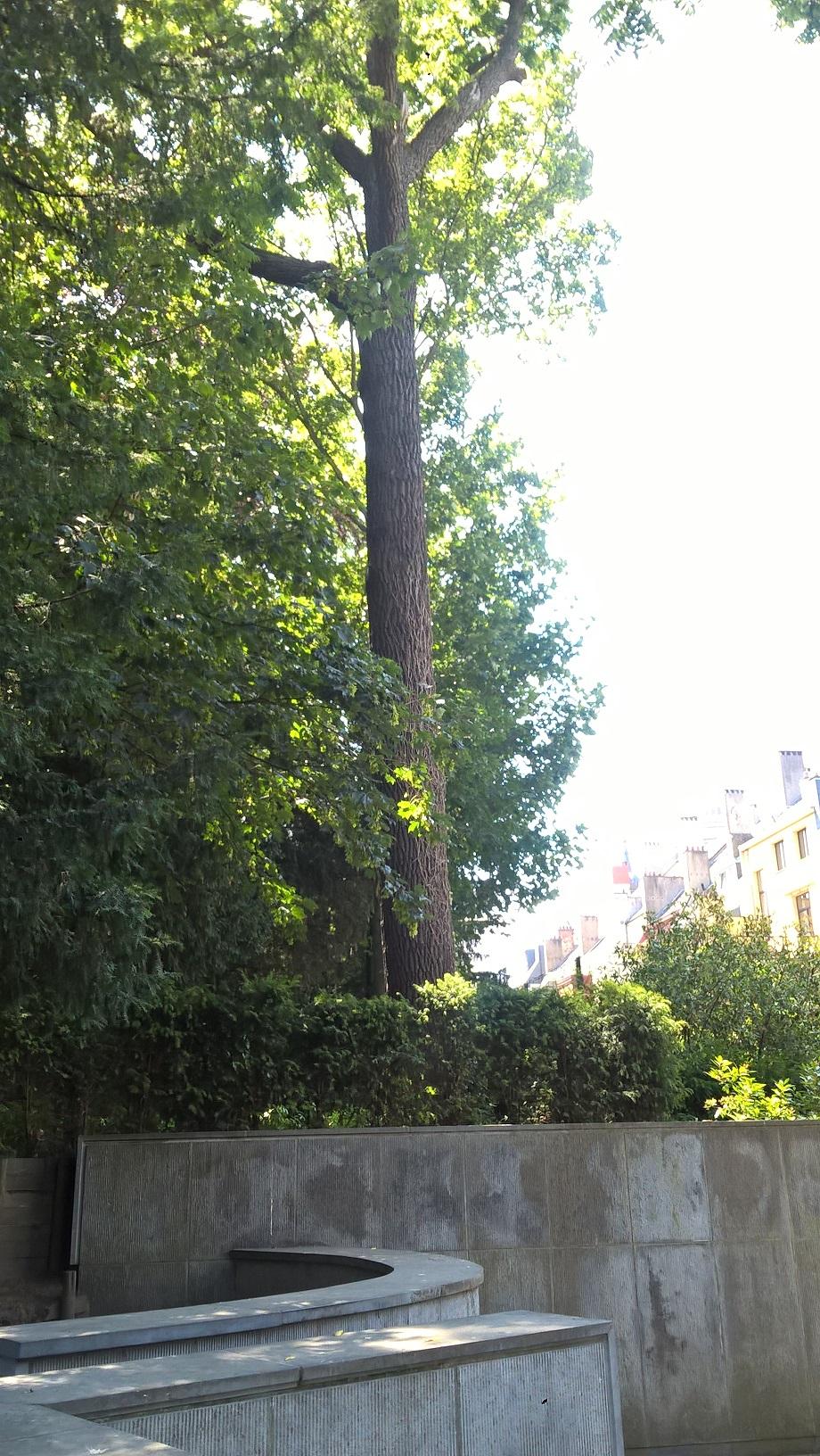 Noyer noir – Bruxelles, Parc d'Egmont –  27 Juin 2018