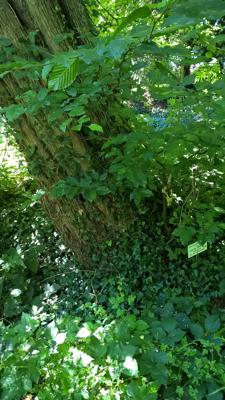 Aubépine à un style/ Epine blanche – Auderghem, Jardin  Massart –  04 Juillet 2019