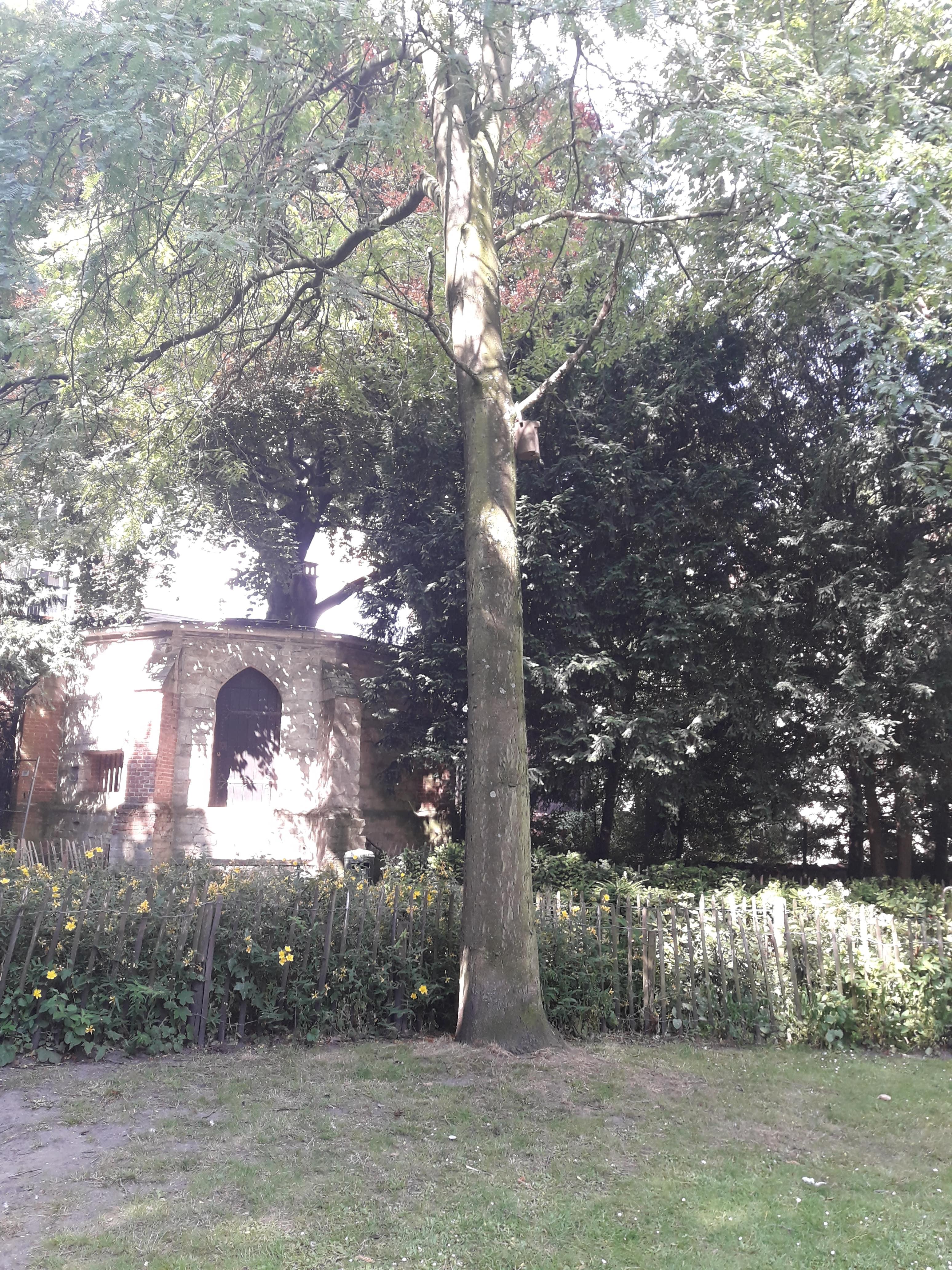 Févier sans épines – Bruxelles, Parc d'Egmont –  01 Juillet 2019