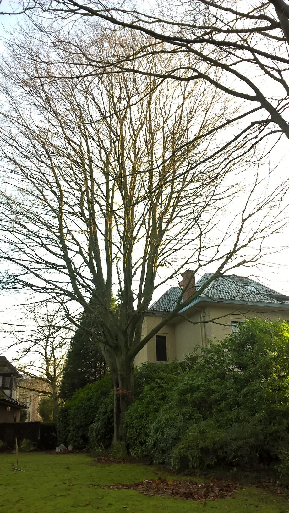 Hêtre pourpre – Uccle, Avenue Léo Errera, 55-57 –  10 Décembre 2019