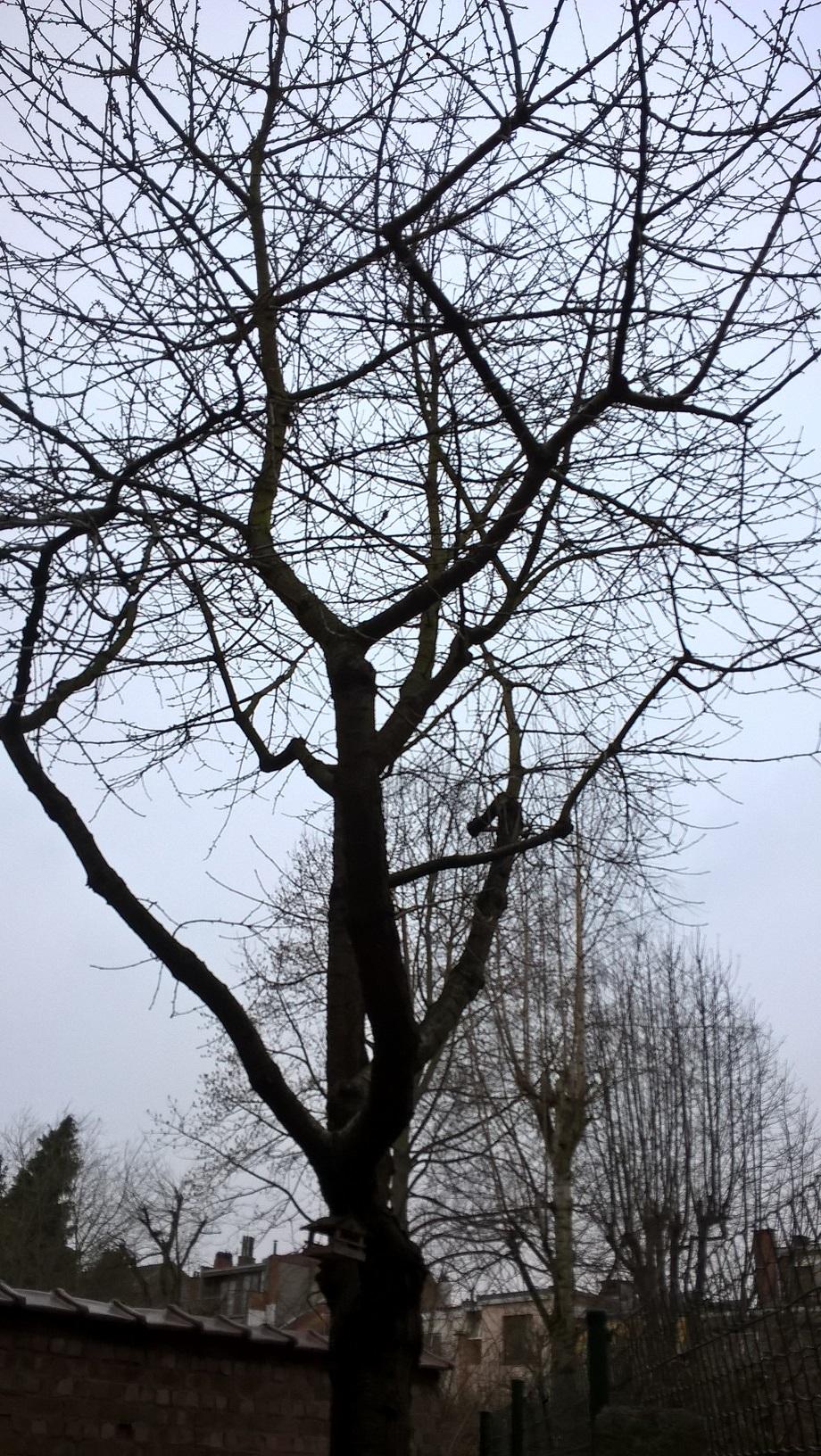 Prunus cerasifera – Anderlecht, Rue Puccini, 111 –  02 Janvier 2020