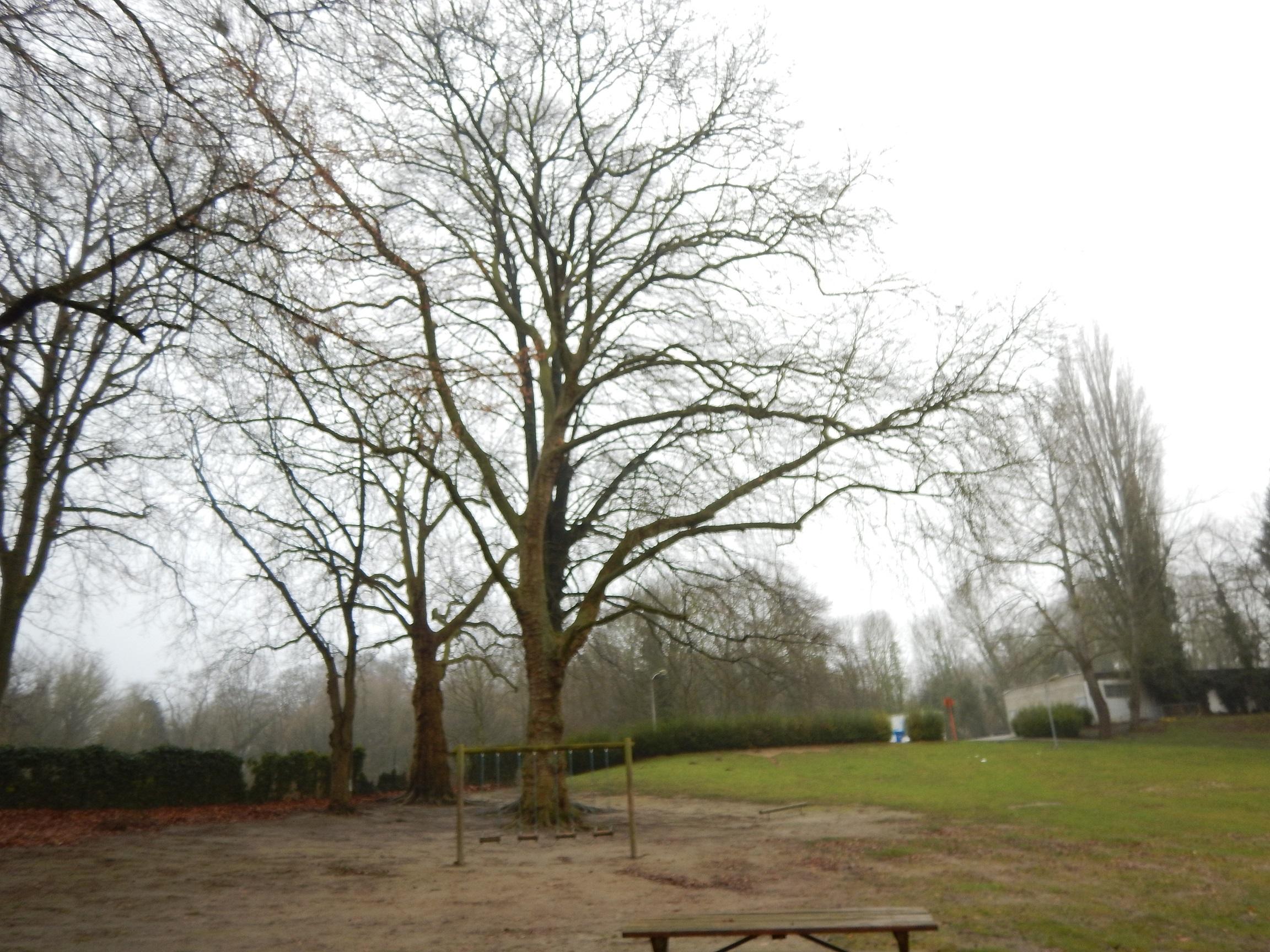 Platane à feuille d'érable – Jette, Bois du Poelbos –  07 Janvier 2020