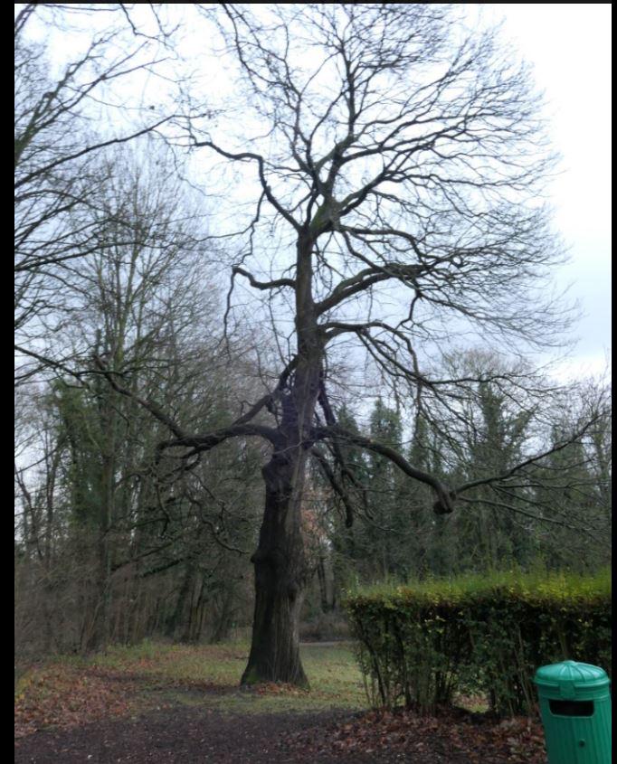 Châtaignier – Jette, Bois du Poelbos –  23 Décembre 2019
