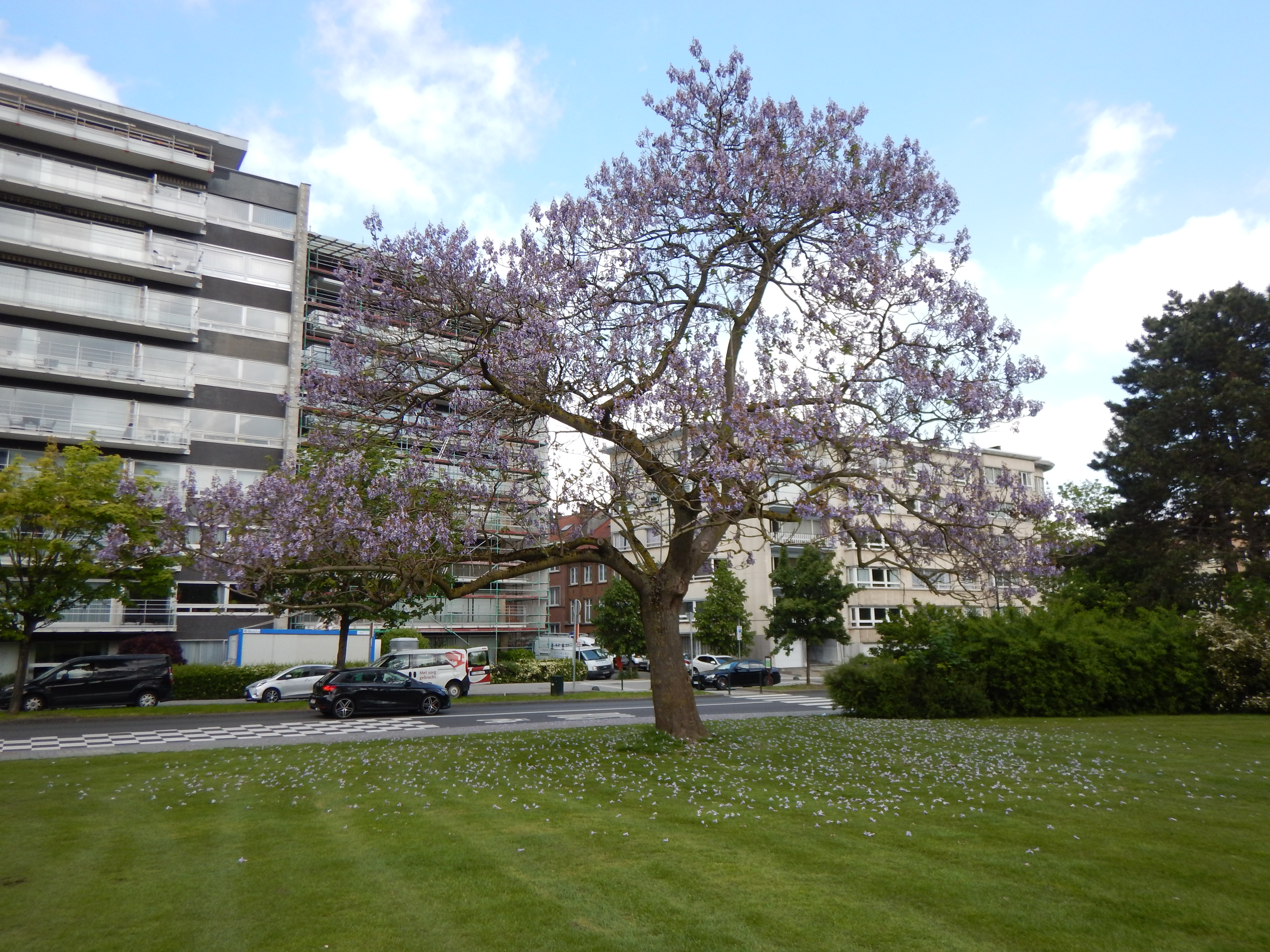 Paulownia impérial – Molenbeek-Saint-Jean, Boulevard Edmond Machtens –  12 Mars 2020