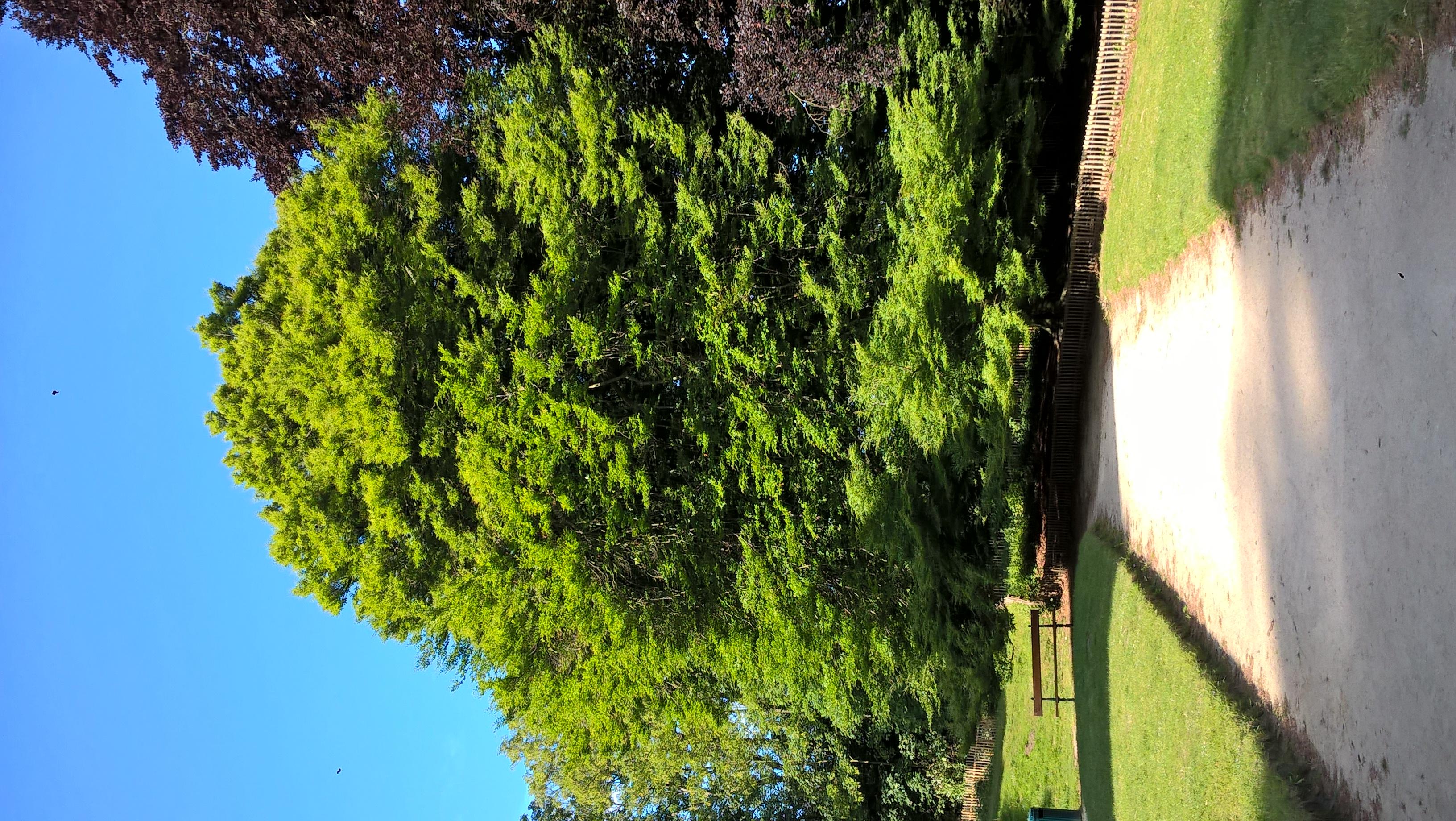 Fagus sylvatica 'Laciniata', Parc Duden