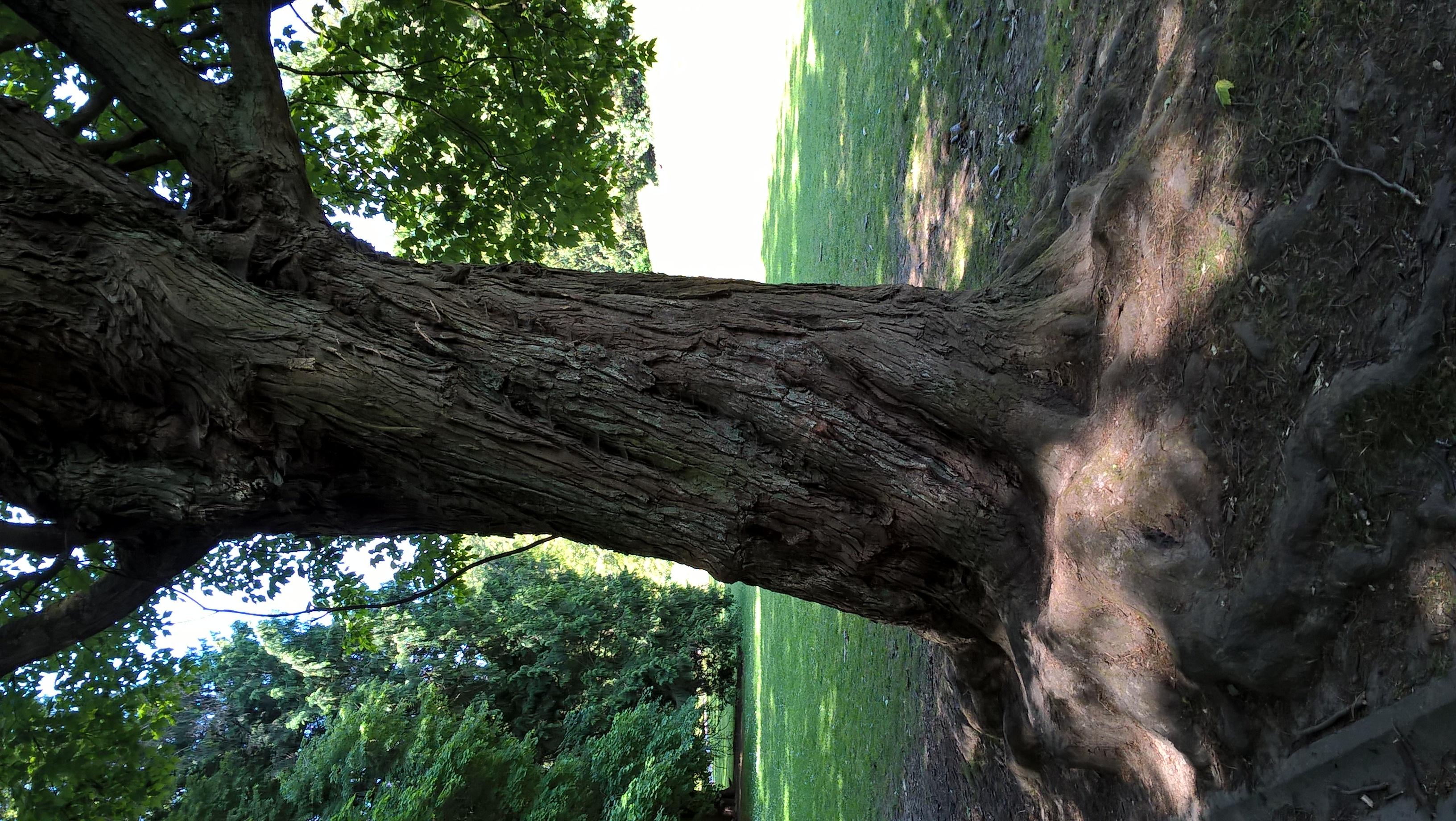 Erable rouge, érable de Virgine., Parc de Woluwe,  02 Juin 2020
