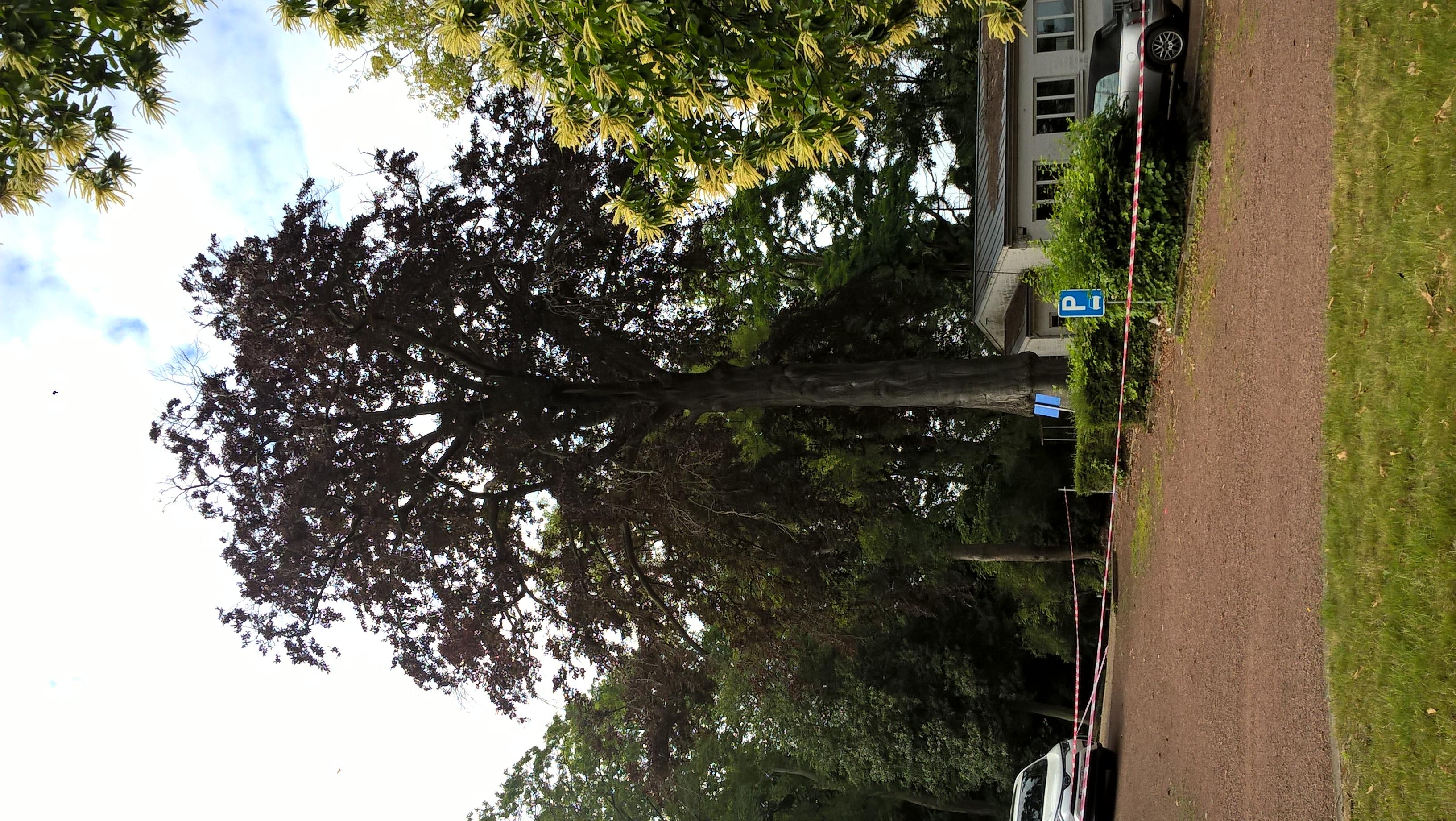 Hêtre pourpre – Uccle, Domaine du Neckersgat, Avenue Achille Reisdorff, 36 –  16 Juin 2020