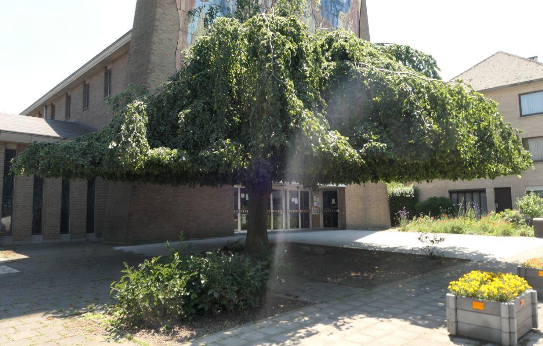 Hêtre pleureur – Ganshoren, Place Reine Fabiola –  30 Juin 2020