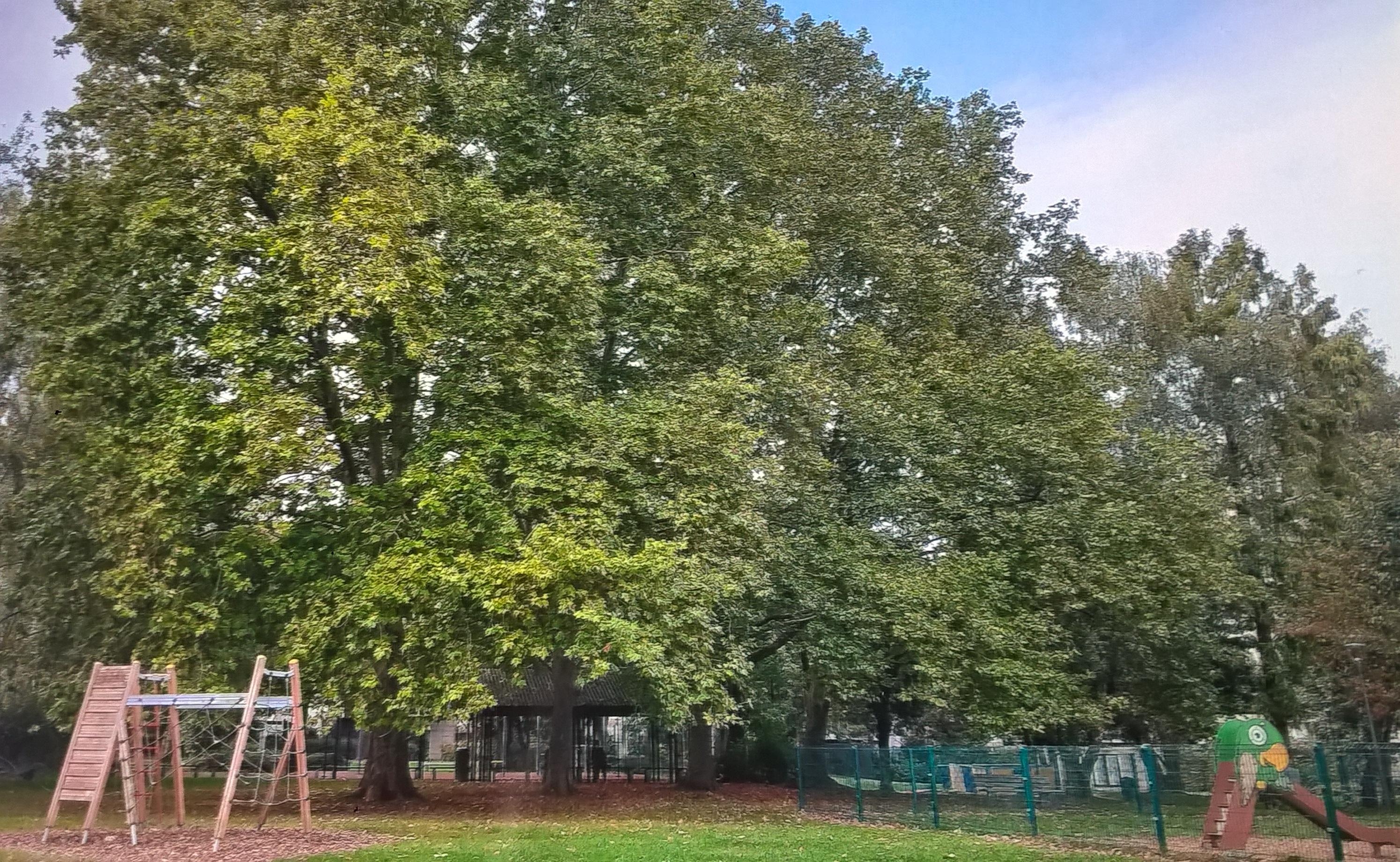 Platane à feuille d'érable – Woluwé-Saint-Lambert, Avenue des Pléiades, 208 –  25 Novembre 2020