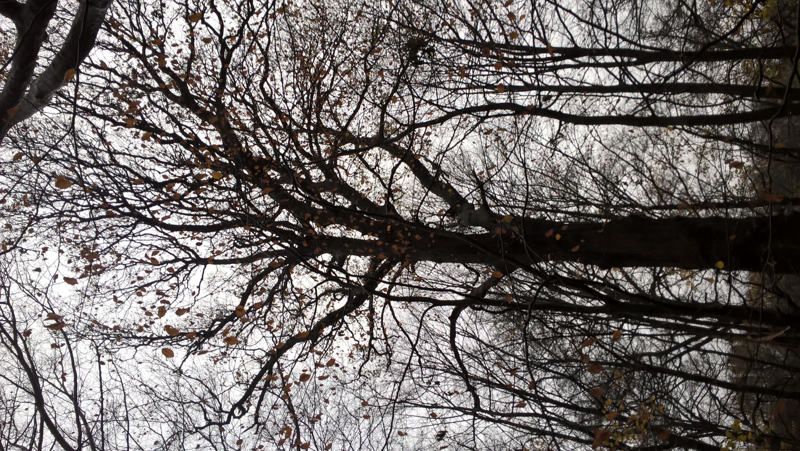 Chêne pédonculé – Bruxelles, Bois de la Cambre –  01 Décembre 2020