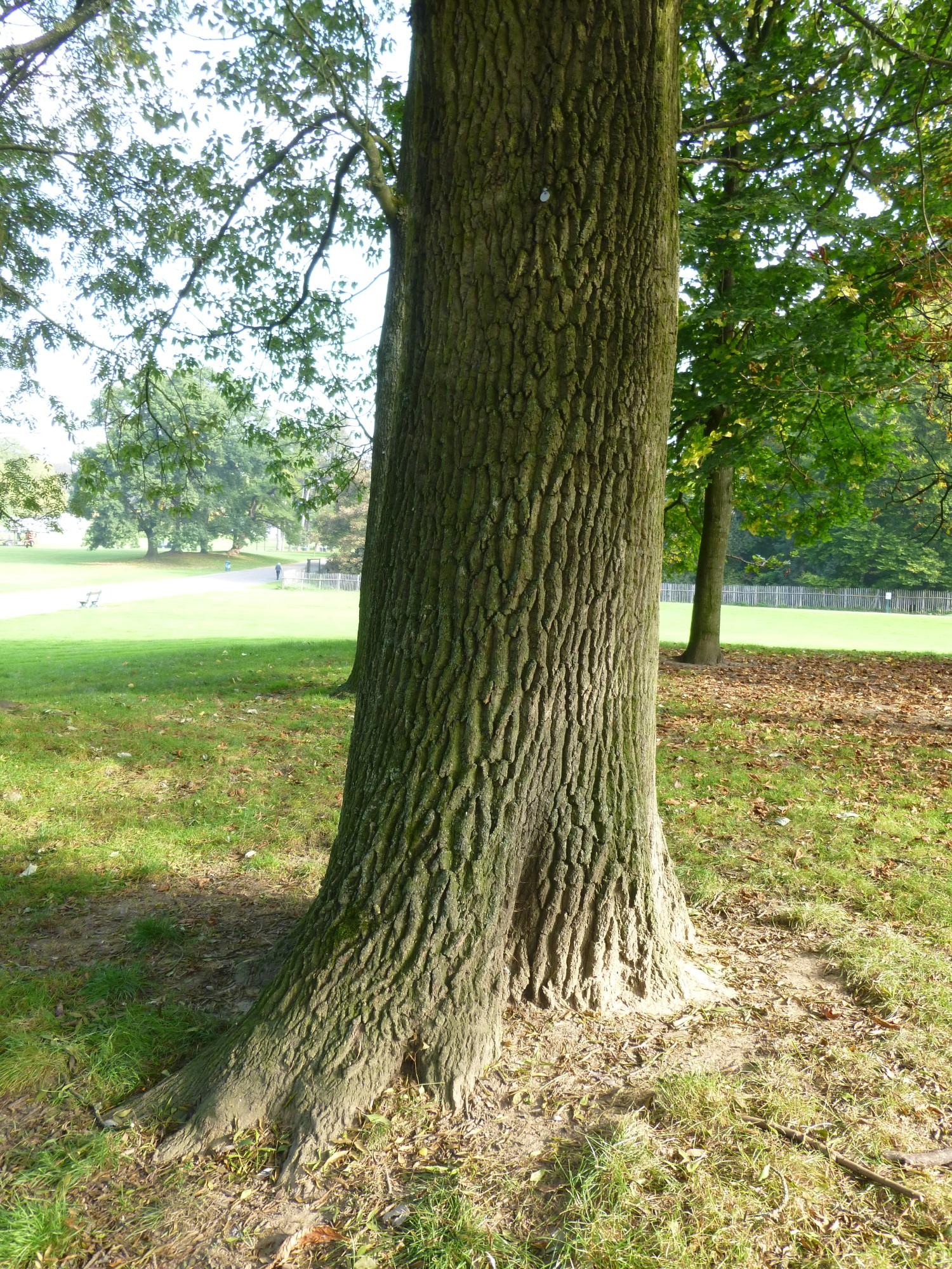 Fraxinus angustifolia 'Raywood', Parc public de Laeken