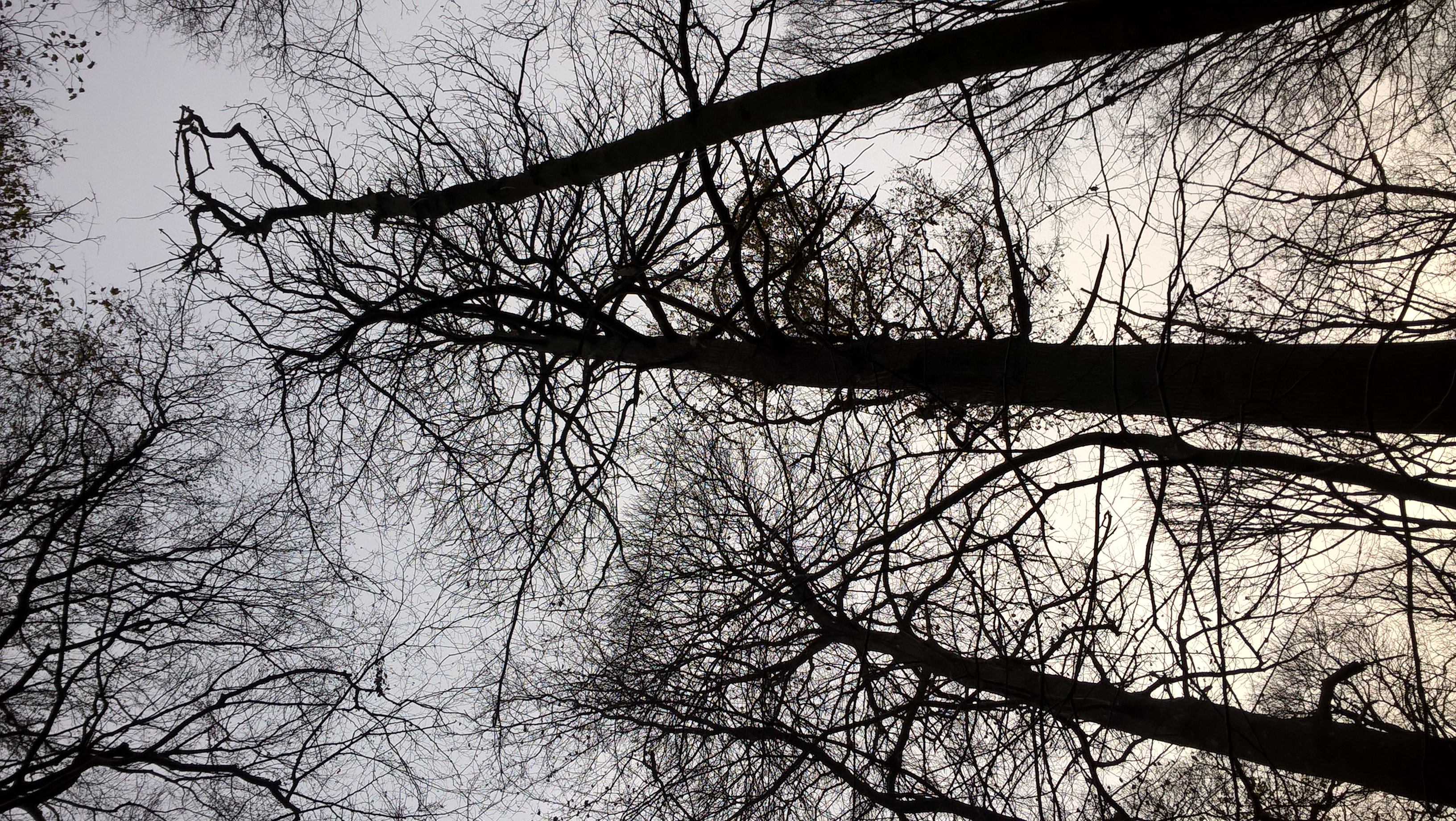 Châtaignier – Bruxelles, Bois de la Cambre –  10 Décembre 2020