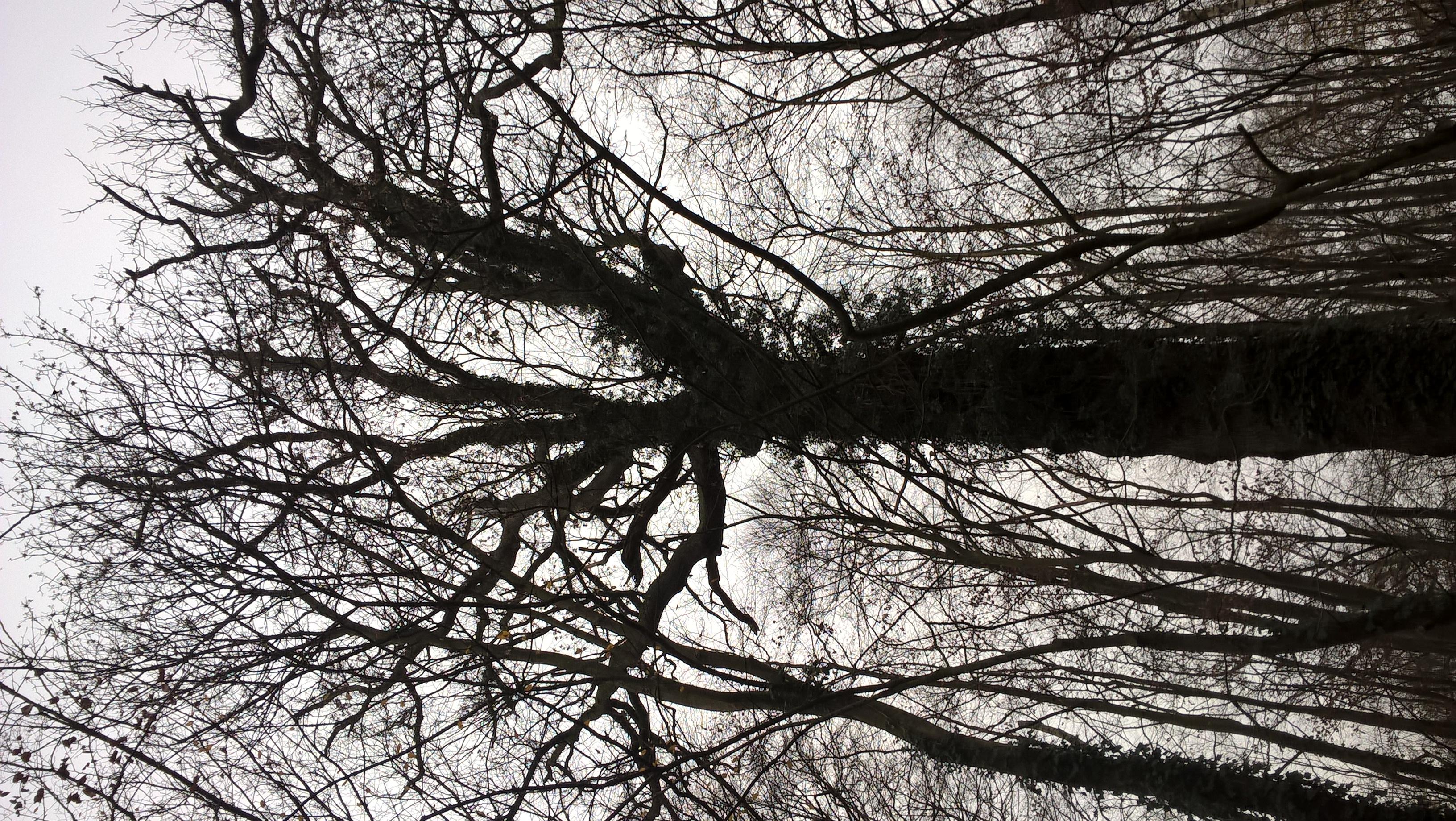 Chêne pédonculé – Bruxelles, Bois de la Cambre –  10 Décembre 2020