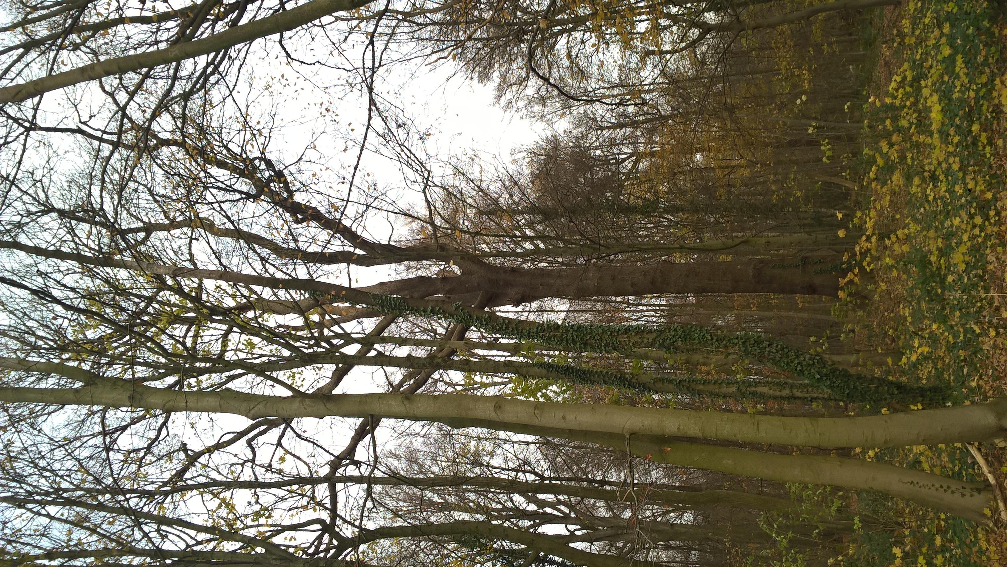 Chêne sessile – Bruxelles, Bois de la Cambre –  10 Décembre 2020