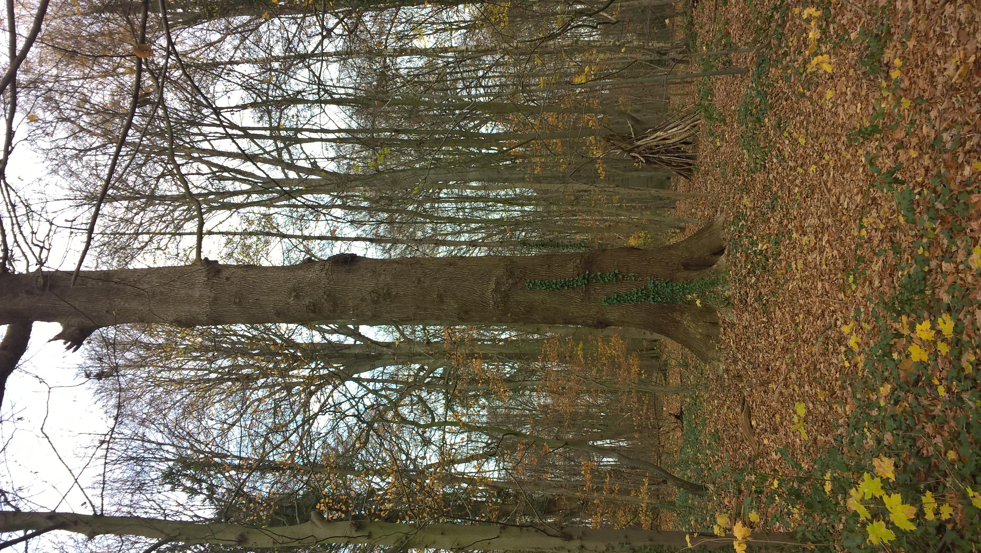 Chêne sessile, Bois de la Cambre