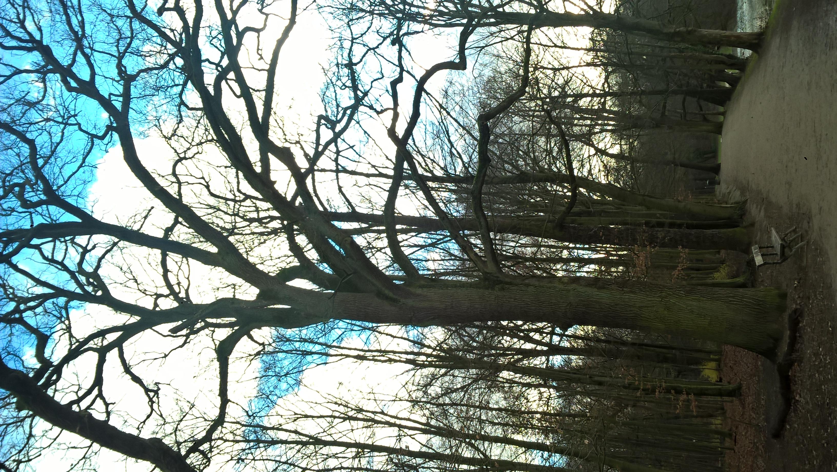 Chêne pédonculé – Bruxelles, Bois de la Cambre –  17 Décembre 2020