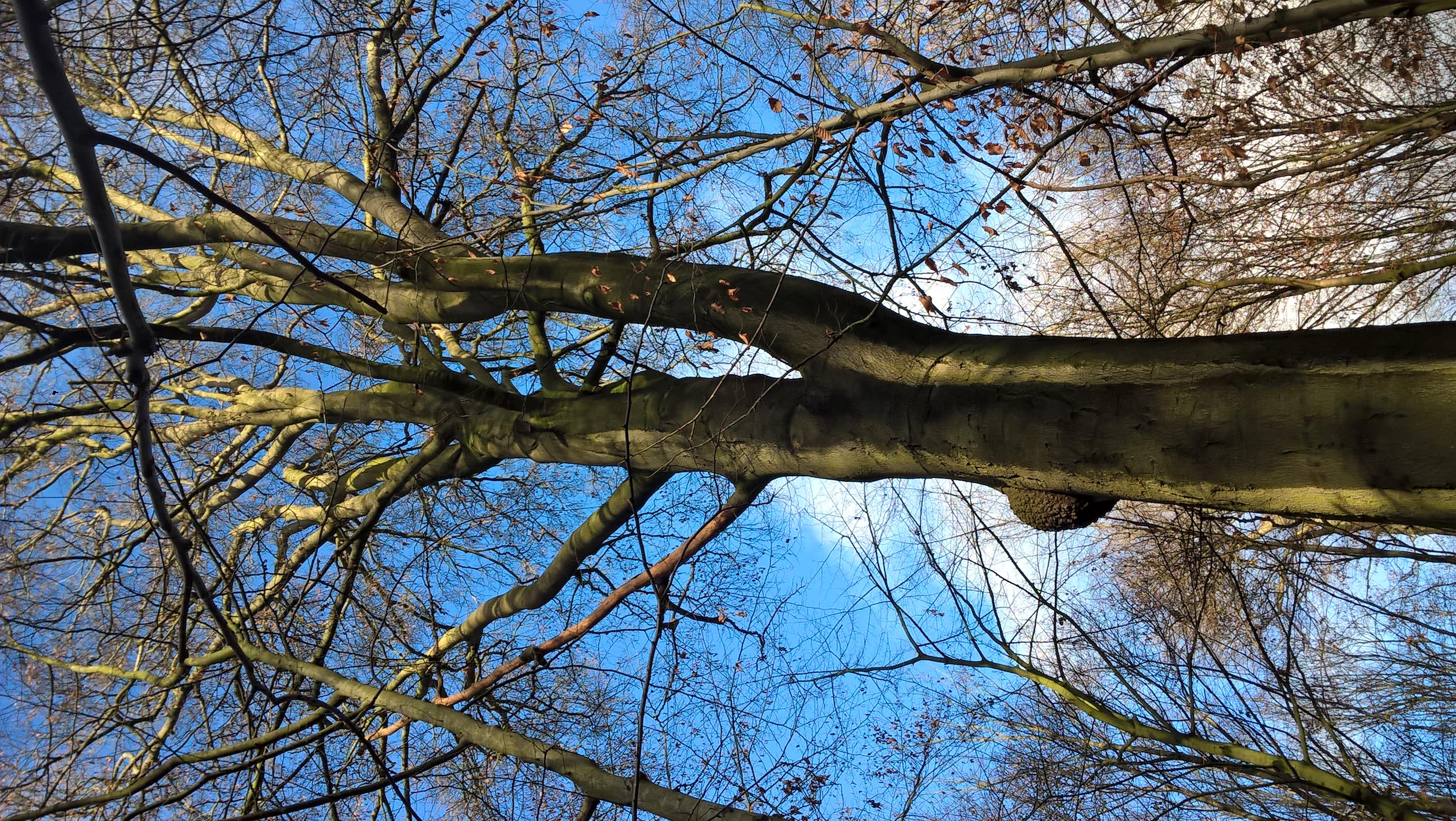 Hêtre d'Europe – Bruxelles, Bois de la Cambre –  17 Décembre 2020