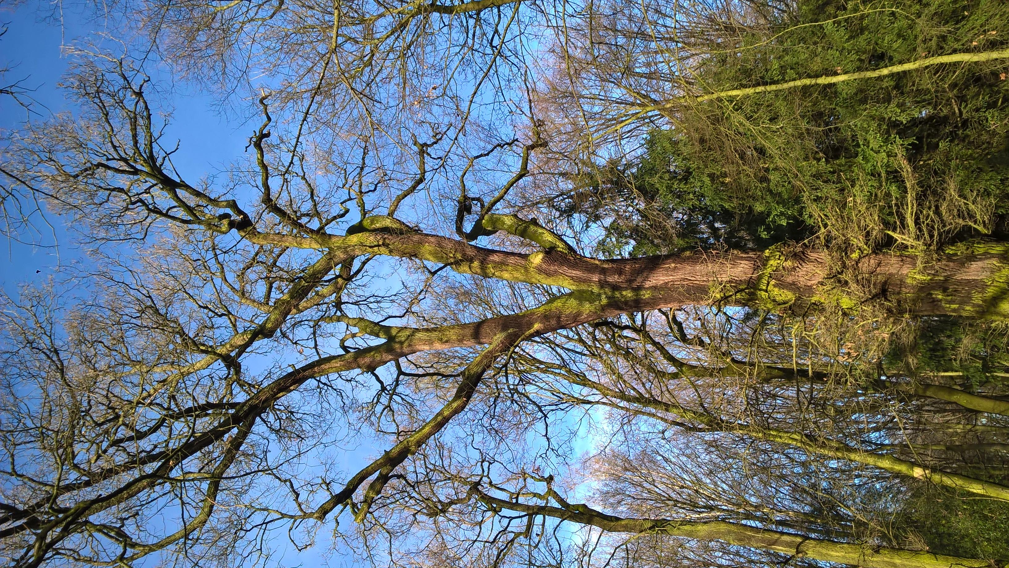 Chêne pédonculé – Bruxelles, Bois de la Cambre –  04 Février 2021