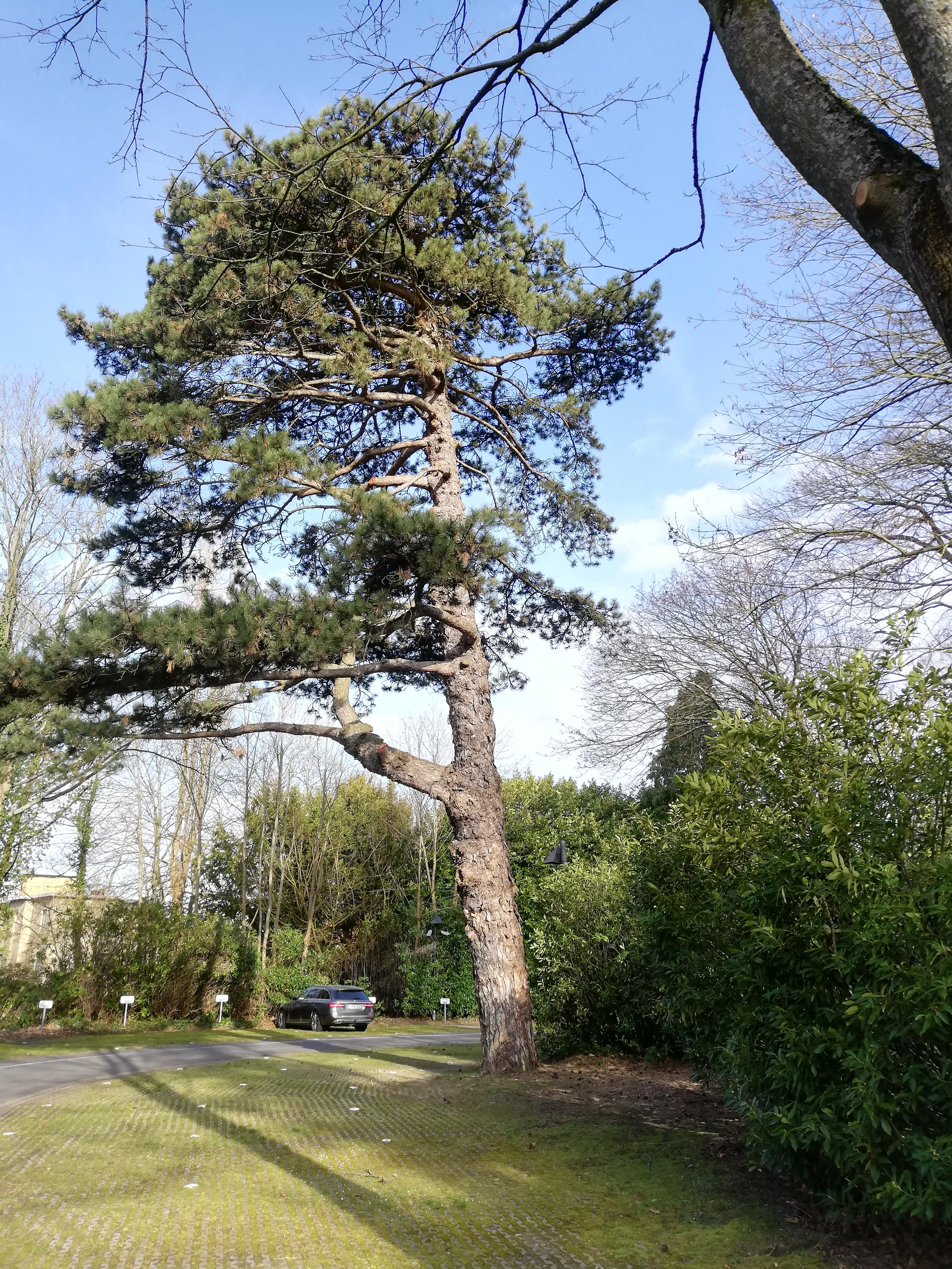 Pinus sp – Watermael-Boitsfort, Chaussée de La Hulpe, 166 –  25 Février 2021