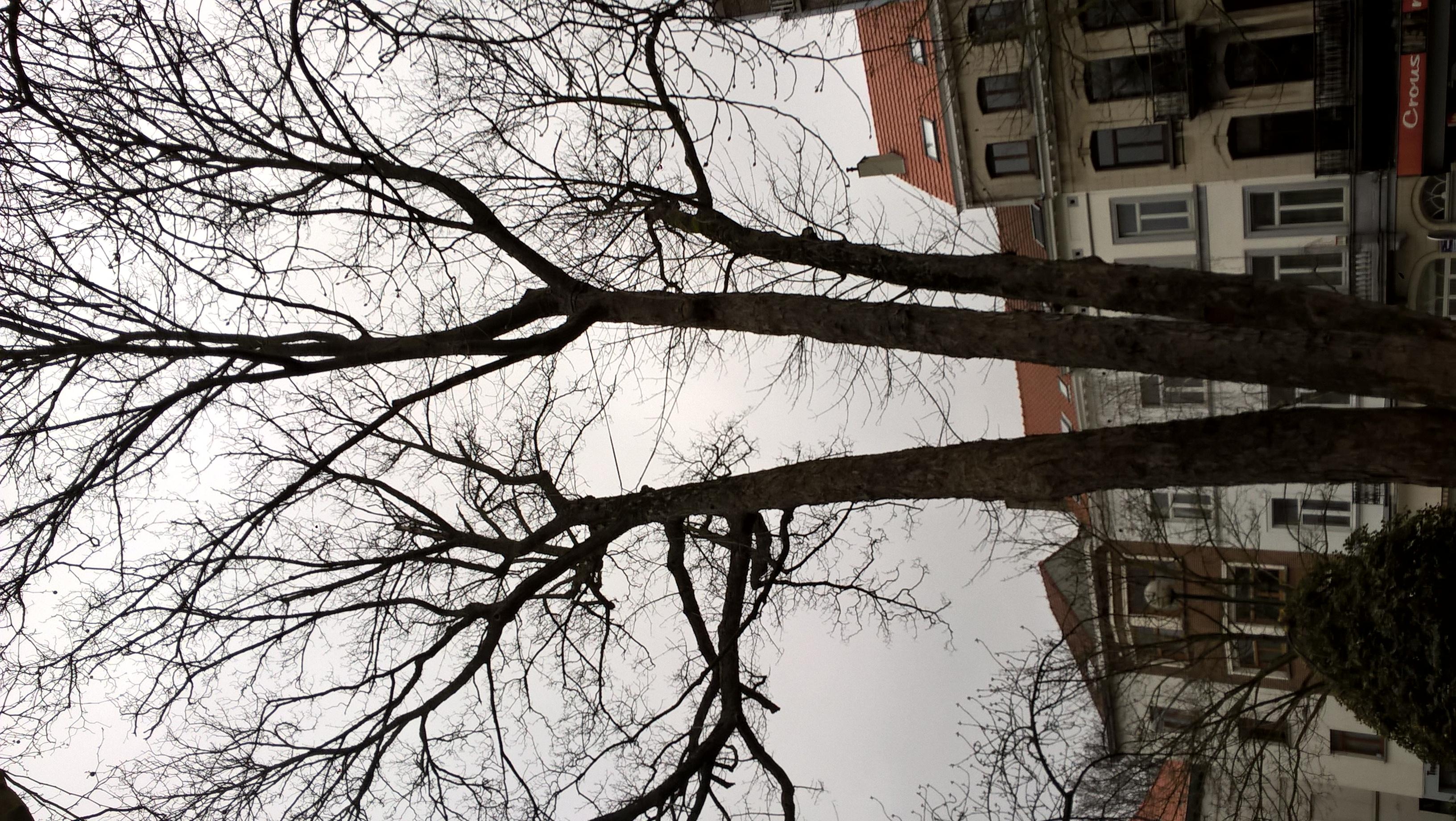 Erable plane – Ixelles, Jardin de l'ancien pavillon Malibran –  25 Mars 2021