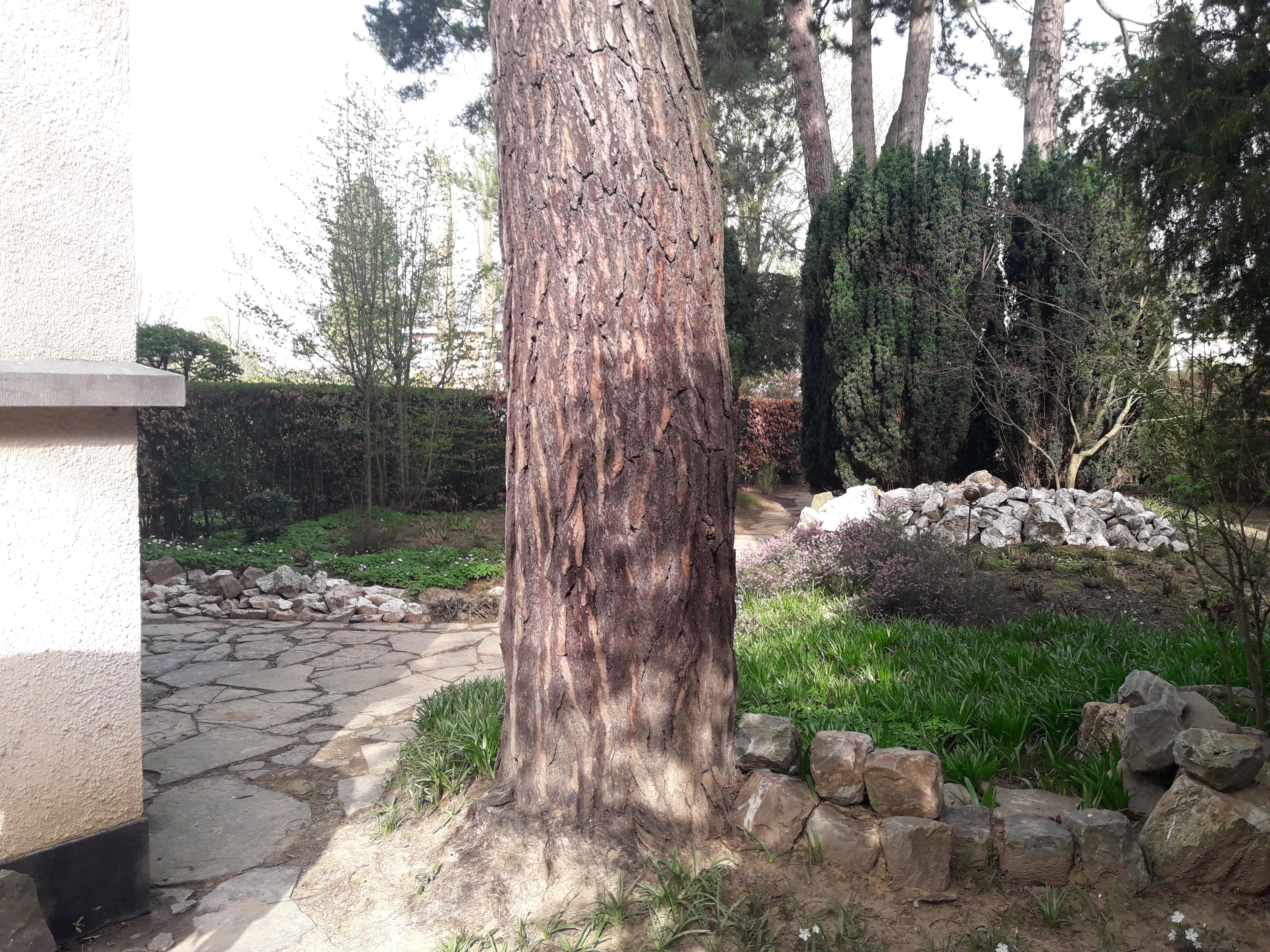Pin noir d'Autriche, Jardin de la maison Grégoire,  01 Avril 2021