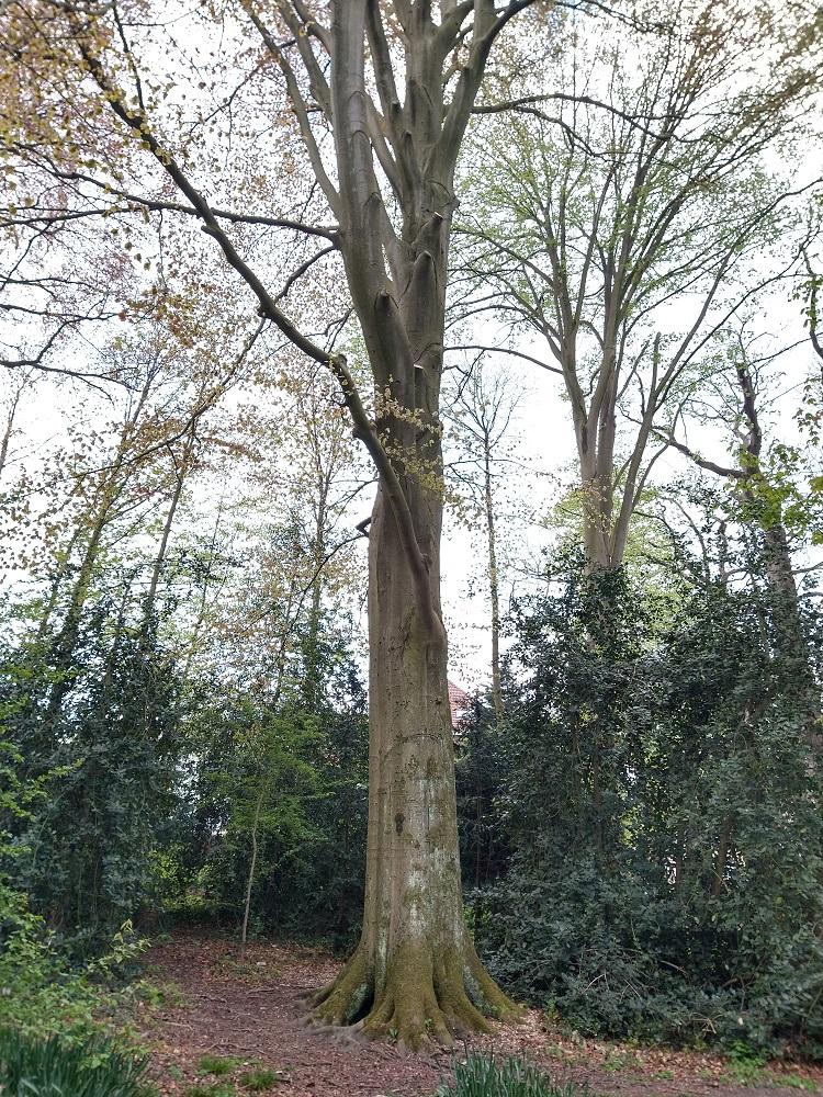 Hêtre d'Europe – Forest, Parc Jacques Brel –  30 Avril 2021