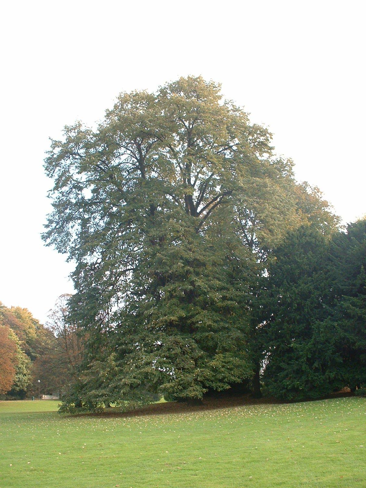 Tilleul argenté – Bruxelles, Parc public de Laeken –  22 Octobre 2003