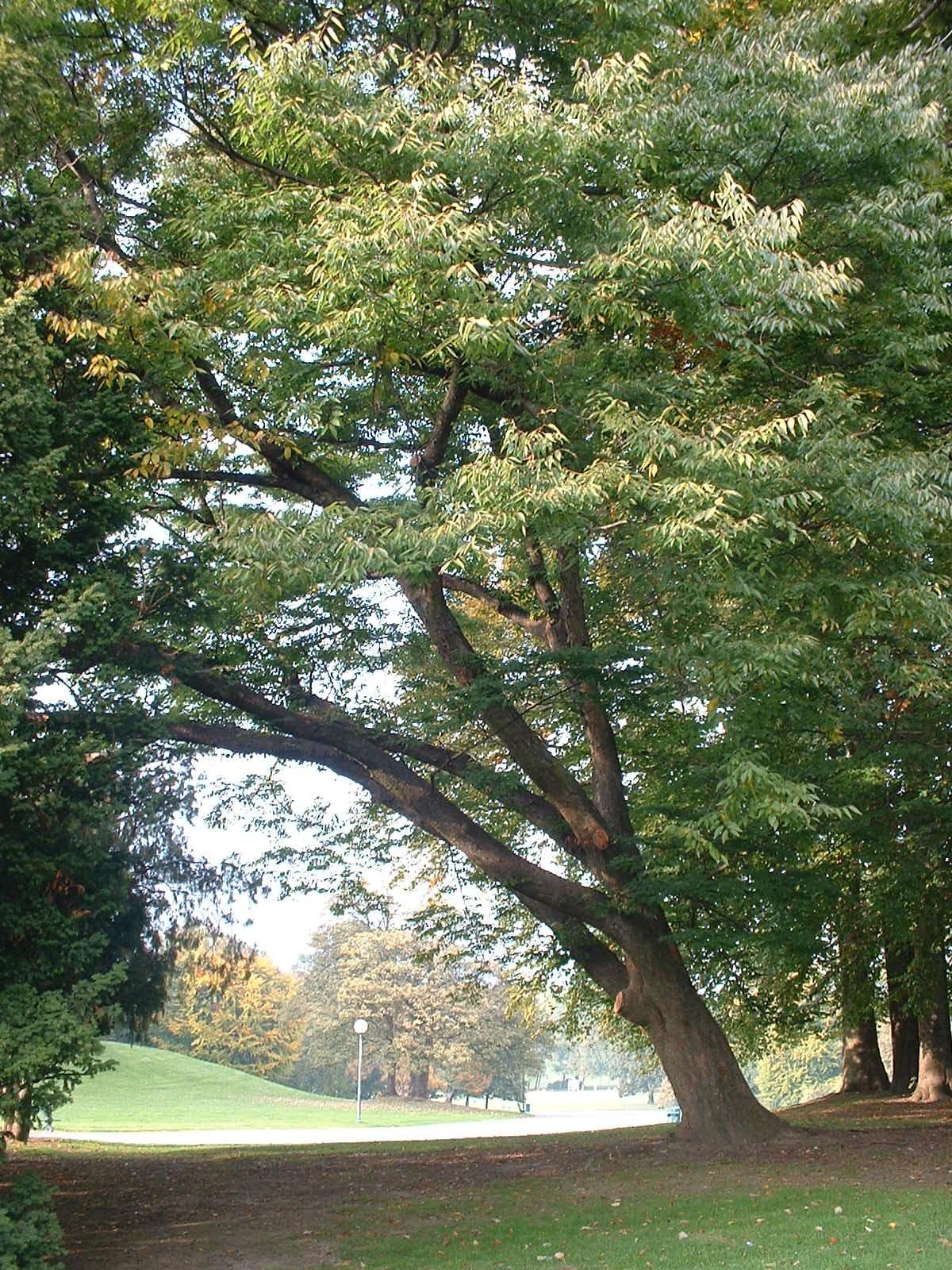 Zelkova du Japon – Bruxelles, Parc public de Laeken –  22 Octobre 2003