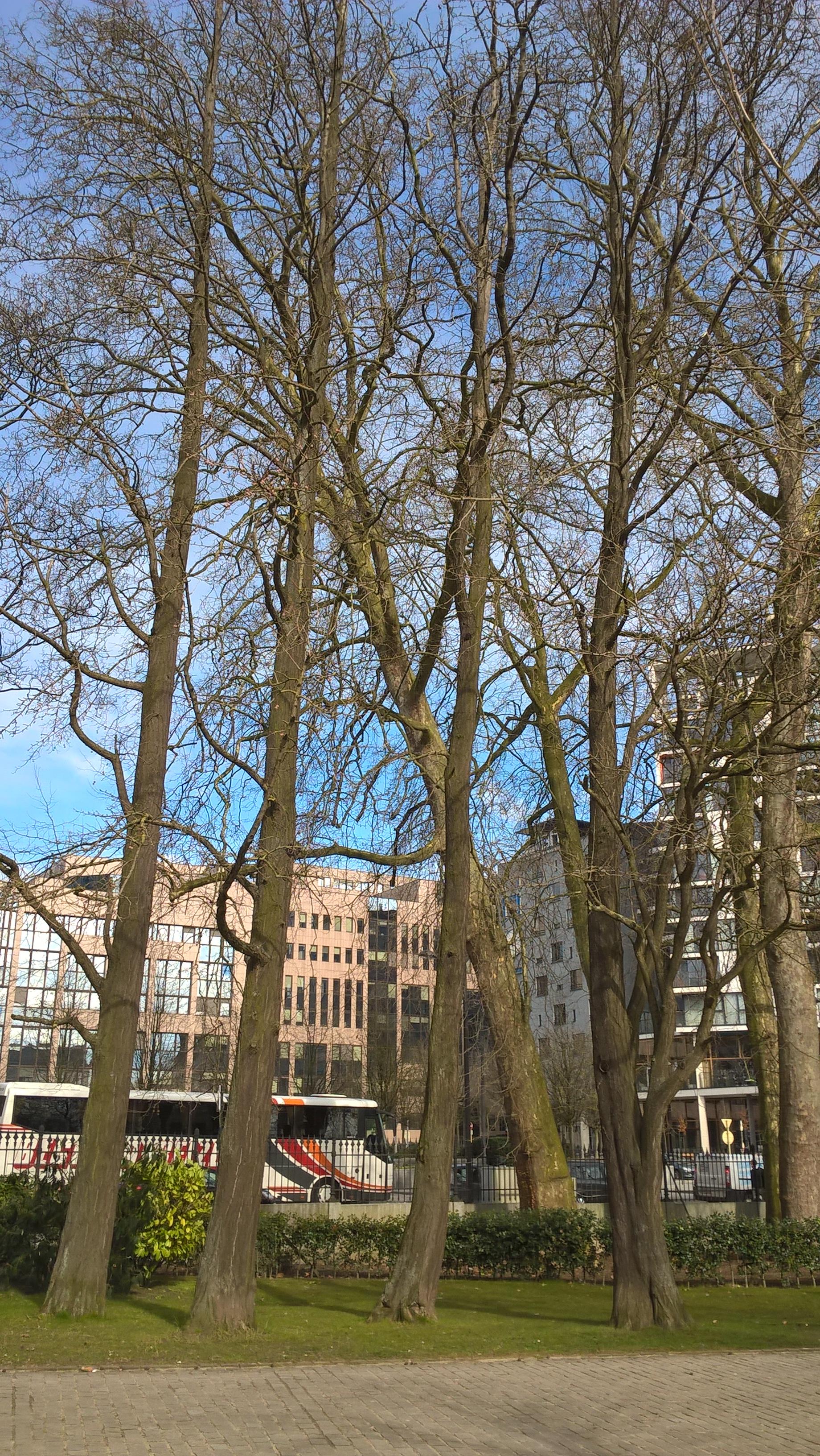 Arbre aux quarante écus – Bruxelles, Parc Léopold –  09 Mars 2016