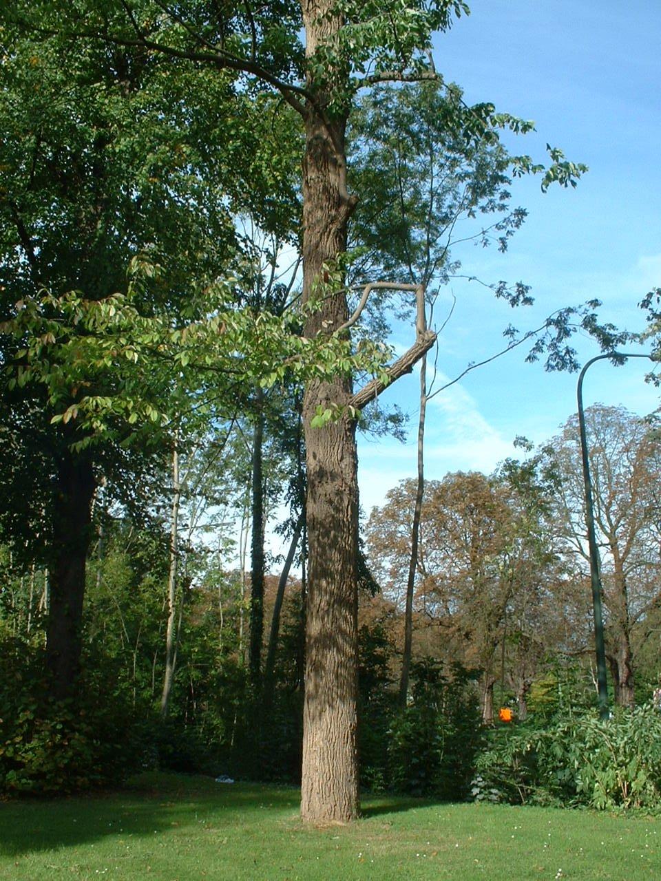Frêne blanc d'Amérique – Bruxelles, Site de l'avenue de Madrid, Avenue de Madrid –  09 Octobre 2006