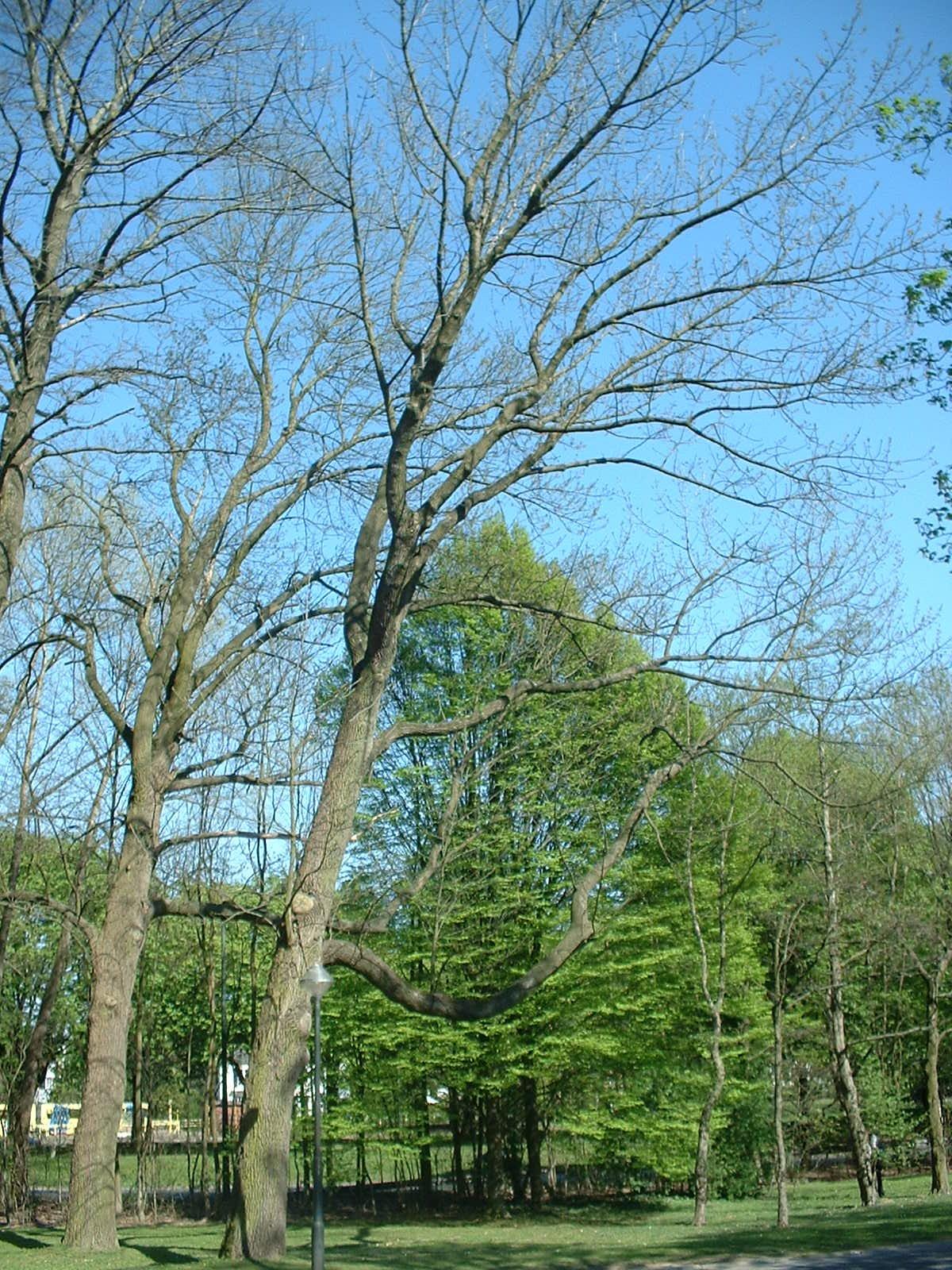 Fraxinus americana – Brussel, Landschap van de Madridlaan, Madridlaan, 98 –  17 April 2003