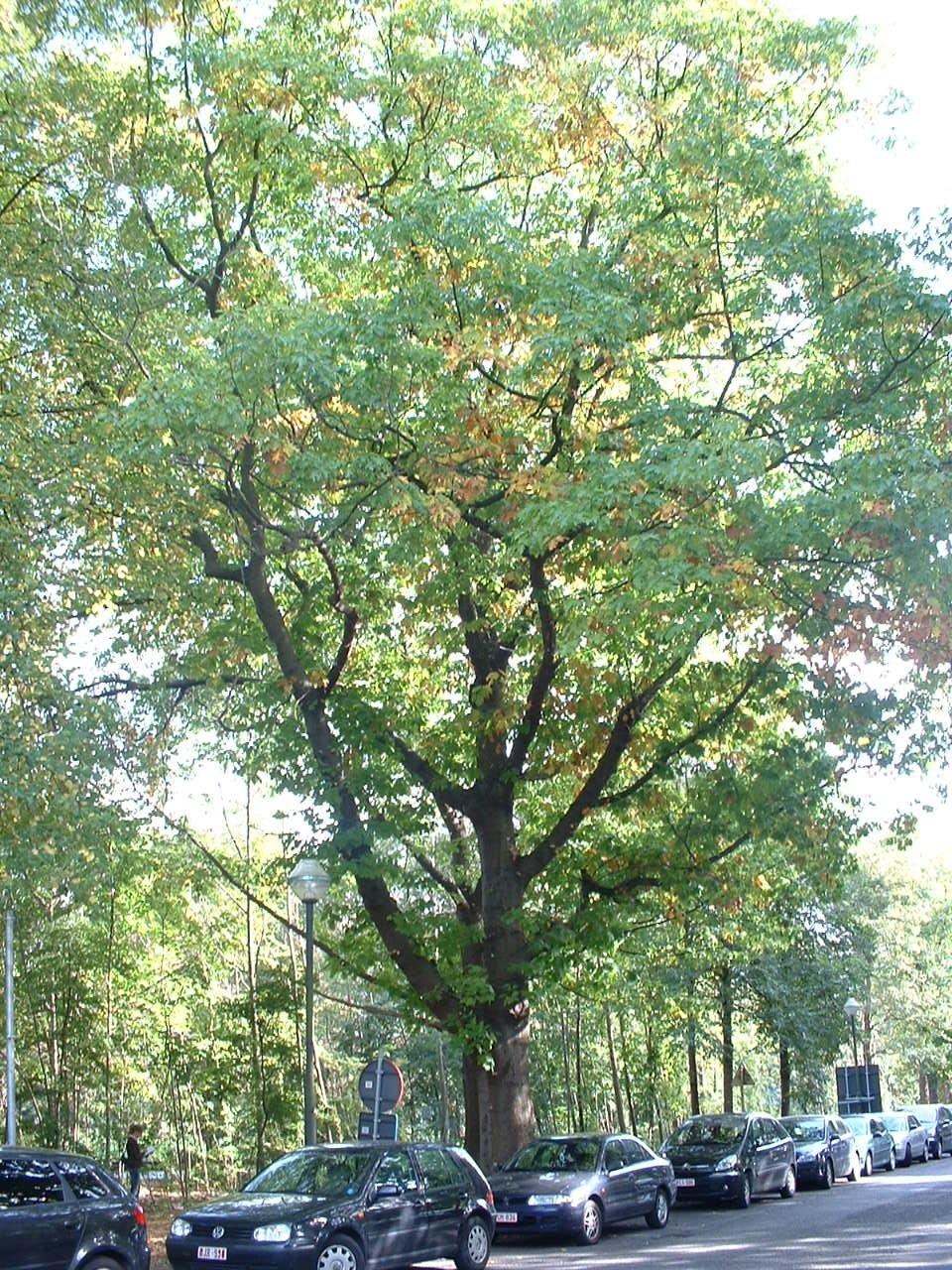 Amerikaanse eik – Brussel, Landschap van de Madridlaan, Madridlaan, 100 –  09 Oktober 2006