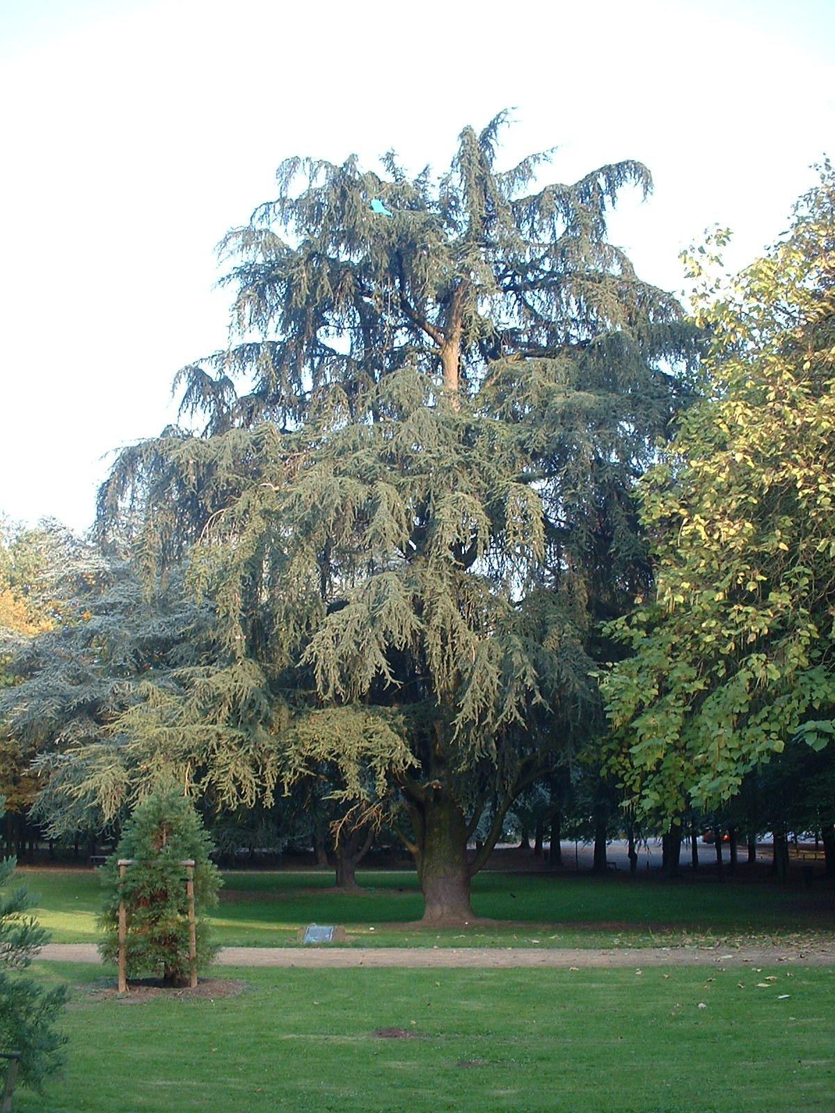 Cèdre du Liban – Bruxelles, Parc d'Osseghem, parc –  22 Octobre 2003