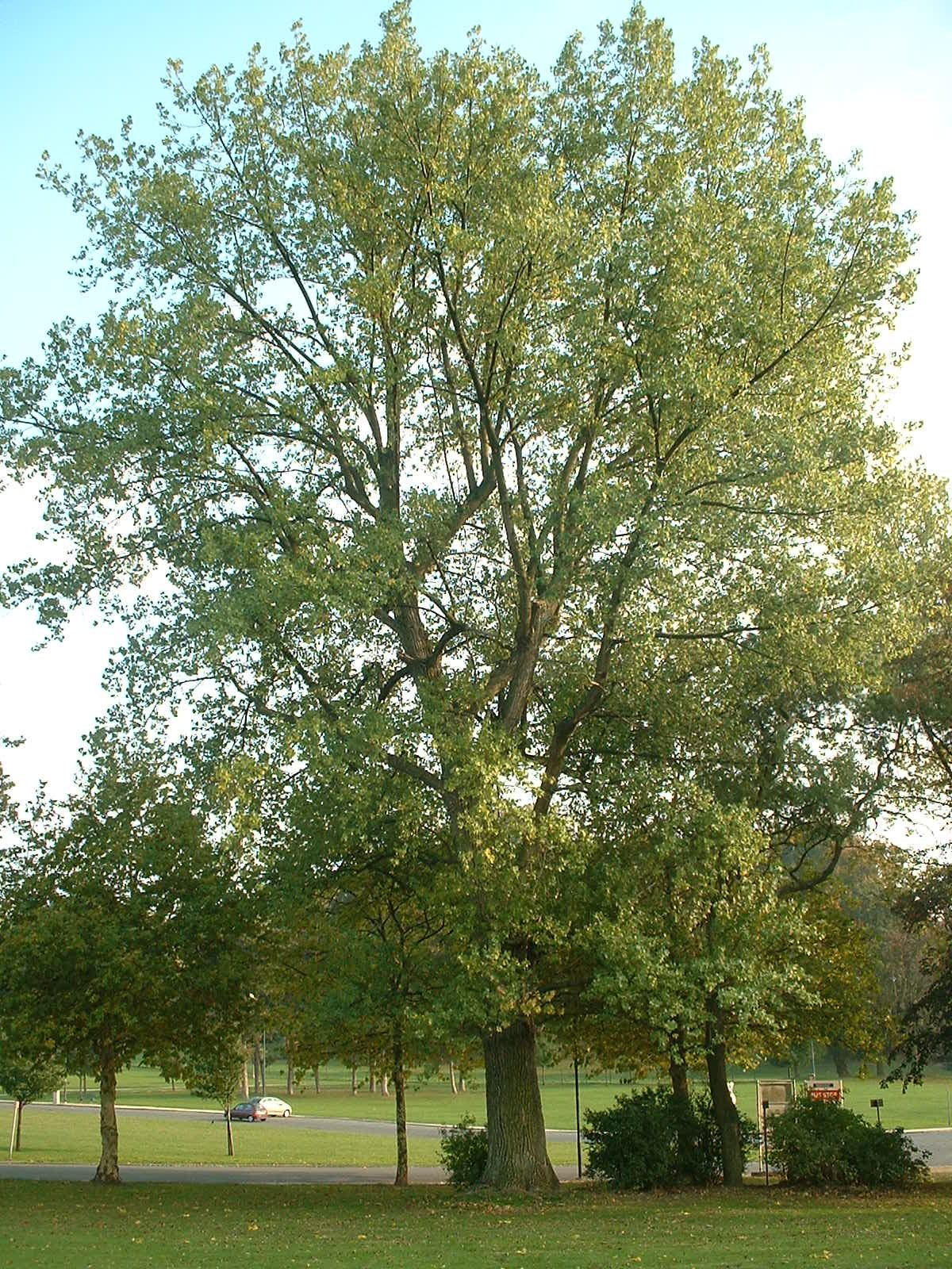 Peuplier du Canada – Bruxelles, Parc d'Osseghem, parc –  22 Octobre 2003