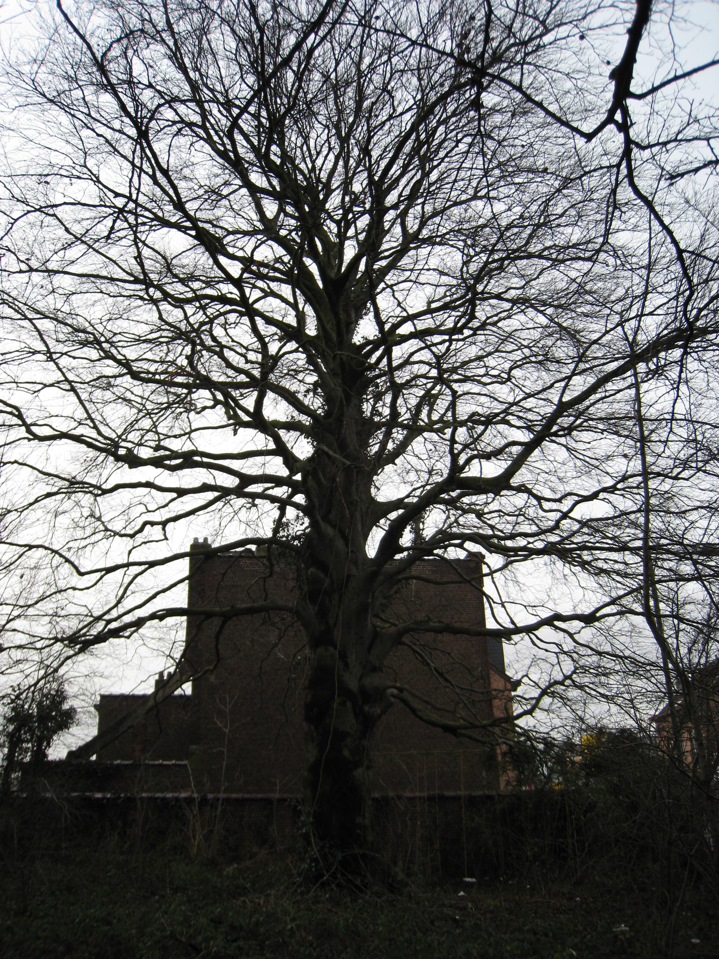 Hêtre pourpre – Bruxelles, Parc Arthur Maes, Chaussée de Haecht, 1730 –  24 Janvier 2012
