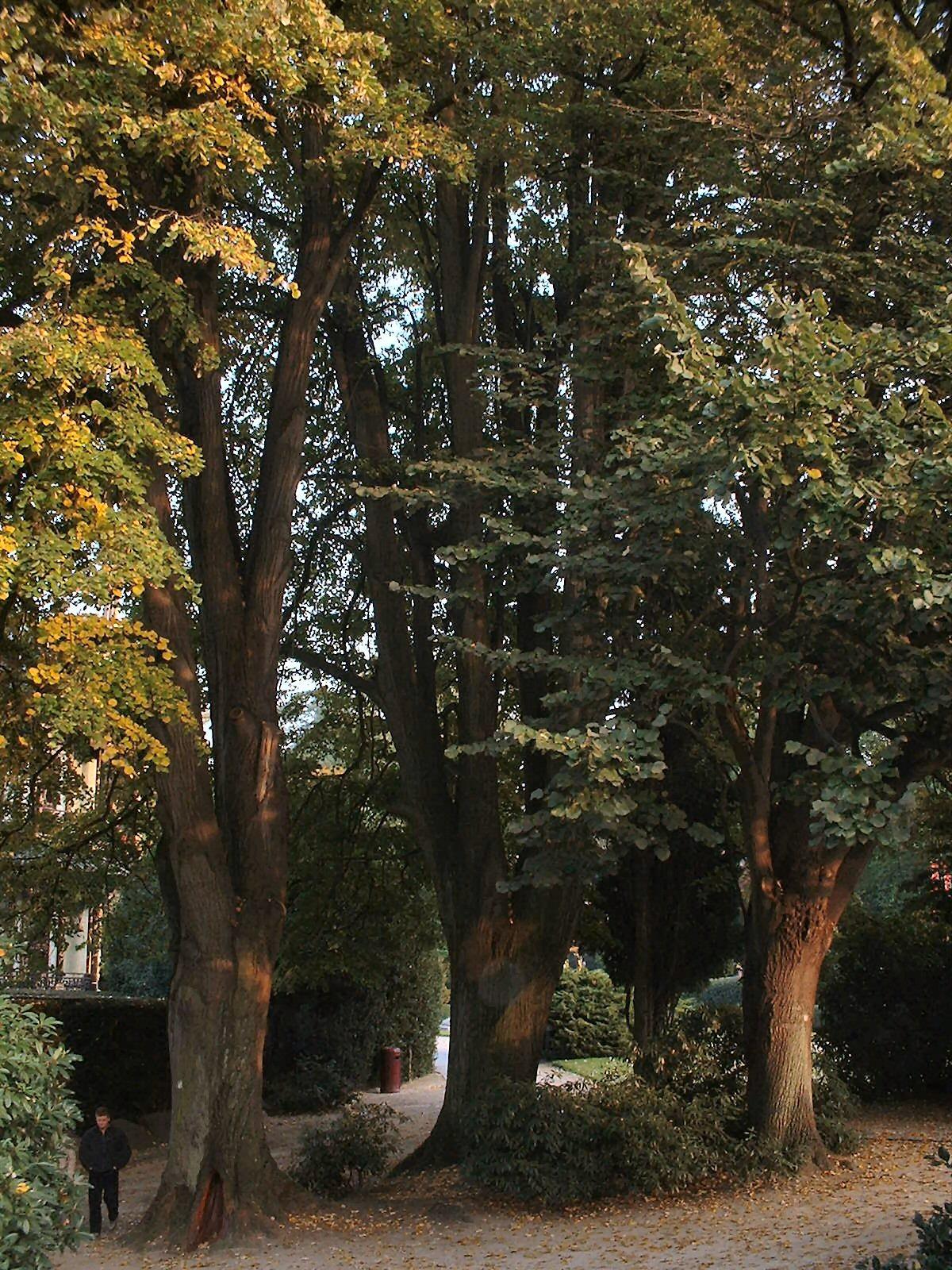 Tilleul argenté – Bruxelles, Jardin du Pavillon Chinois –  22 Octobre 2003