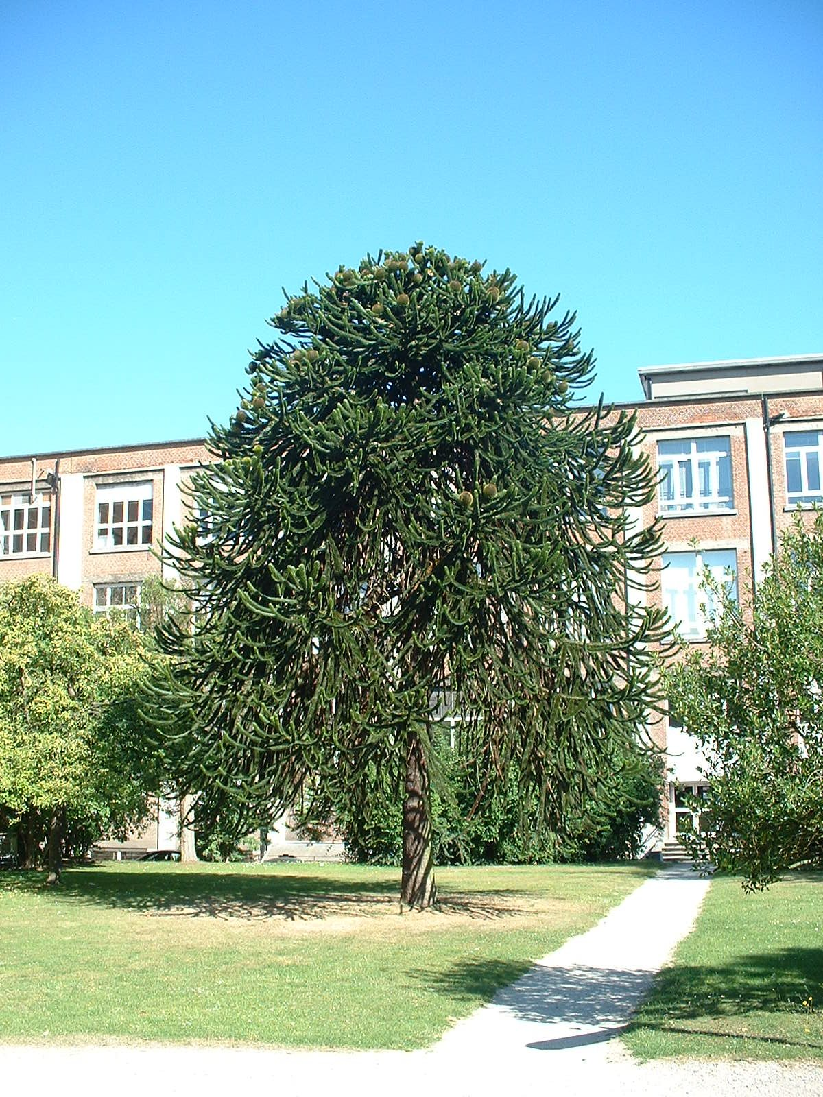 Araucaria du Chili – Bruxelles, Université Libre de Bruxelles - Solbosch, école –  15 Juillet 2003