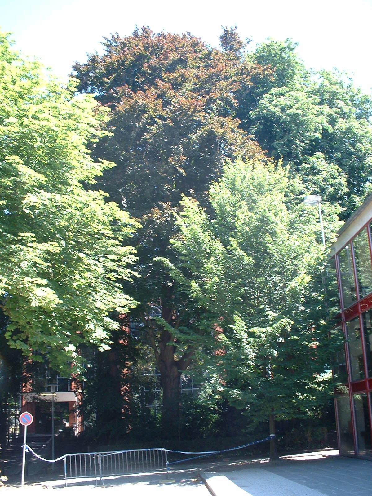 Hêtre pourpre – Bruxelles, Université Libre de Bruxelles - Solbosch, Avenue Adolphe Buyl –  15 Juillet 2003