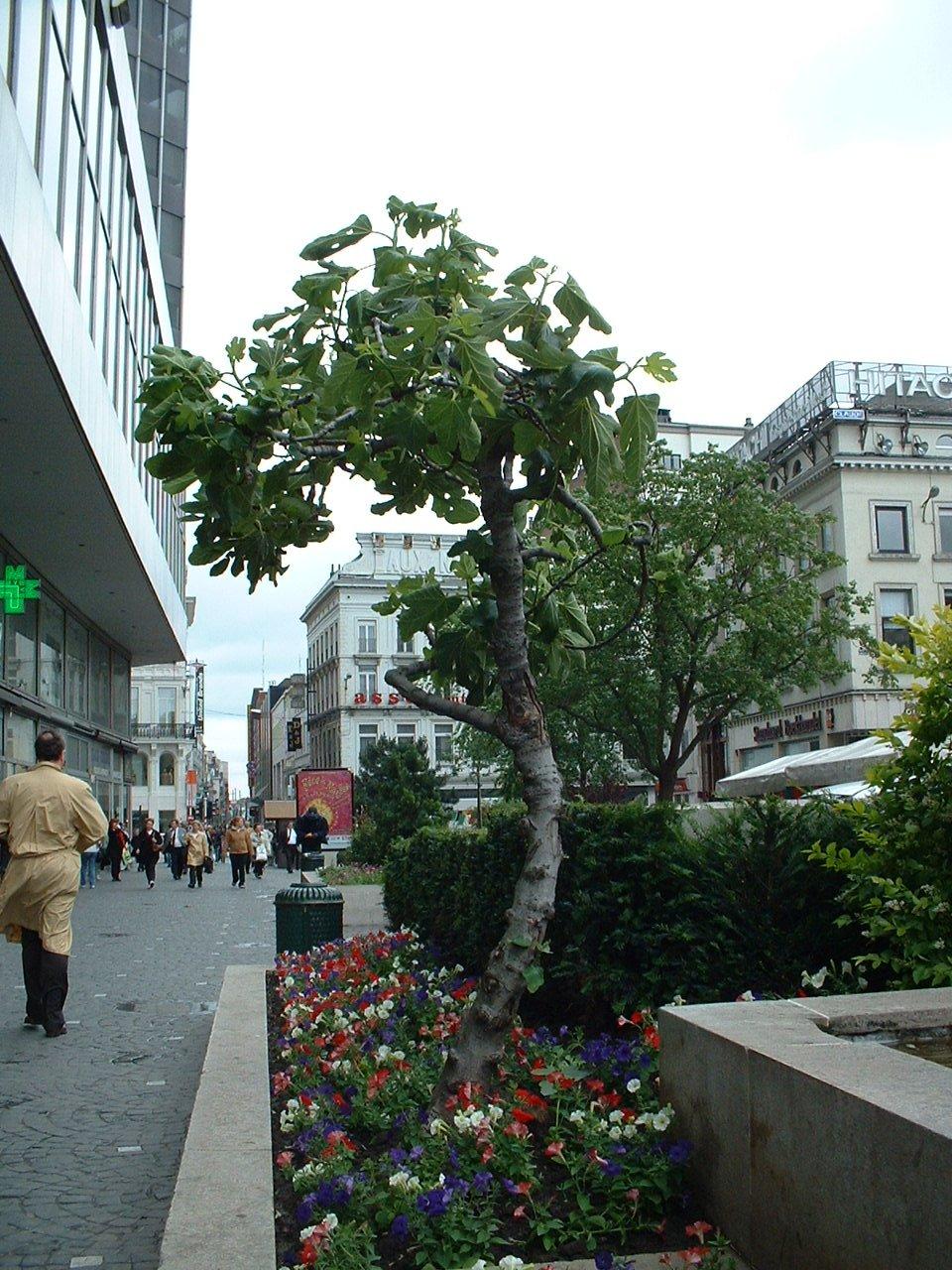 Figuier commun – Bruxelles, Place de la Monnaie –  12 Juin 2002